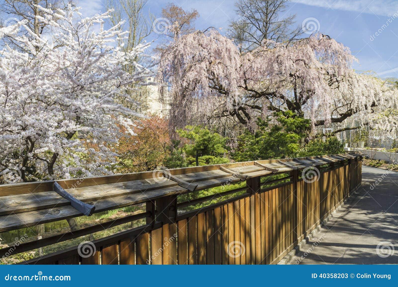 árvores de cereja na flor completa penduram sobre a cerca ao jardim