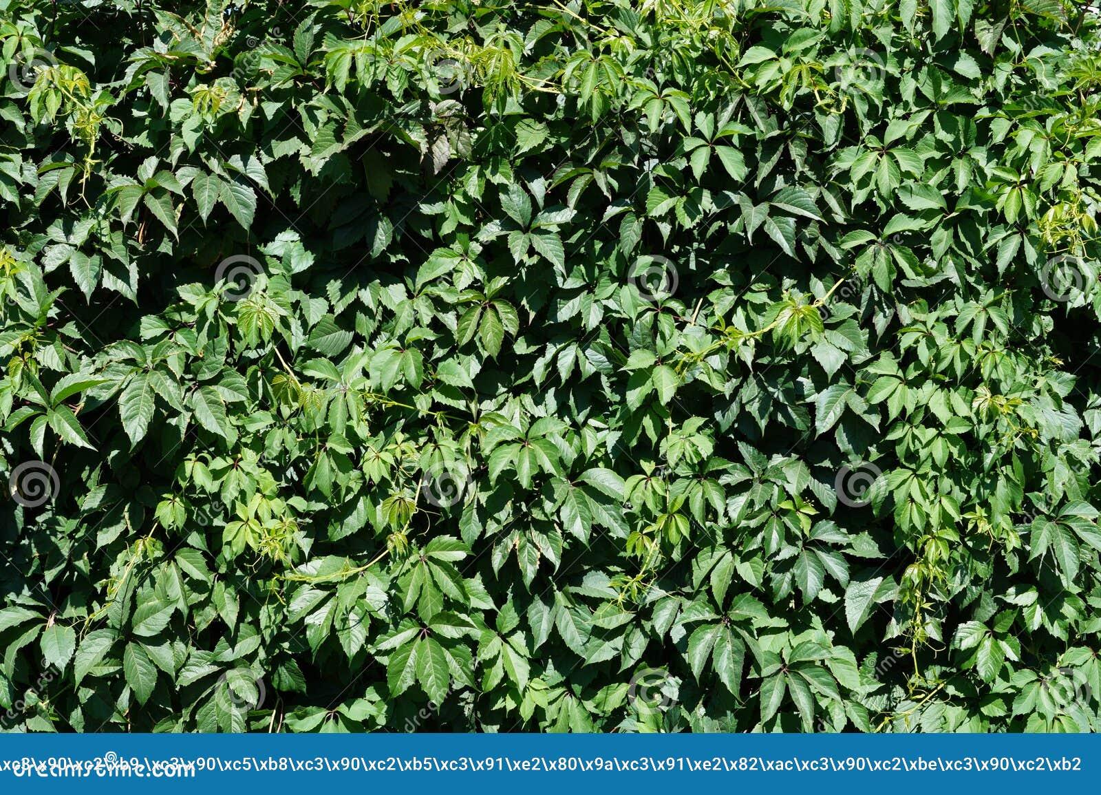 Cerca verde