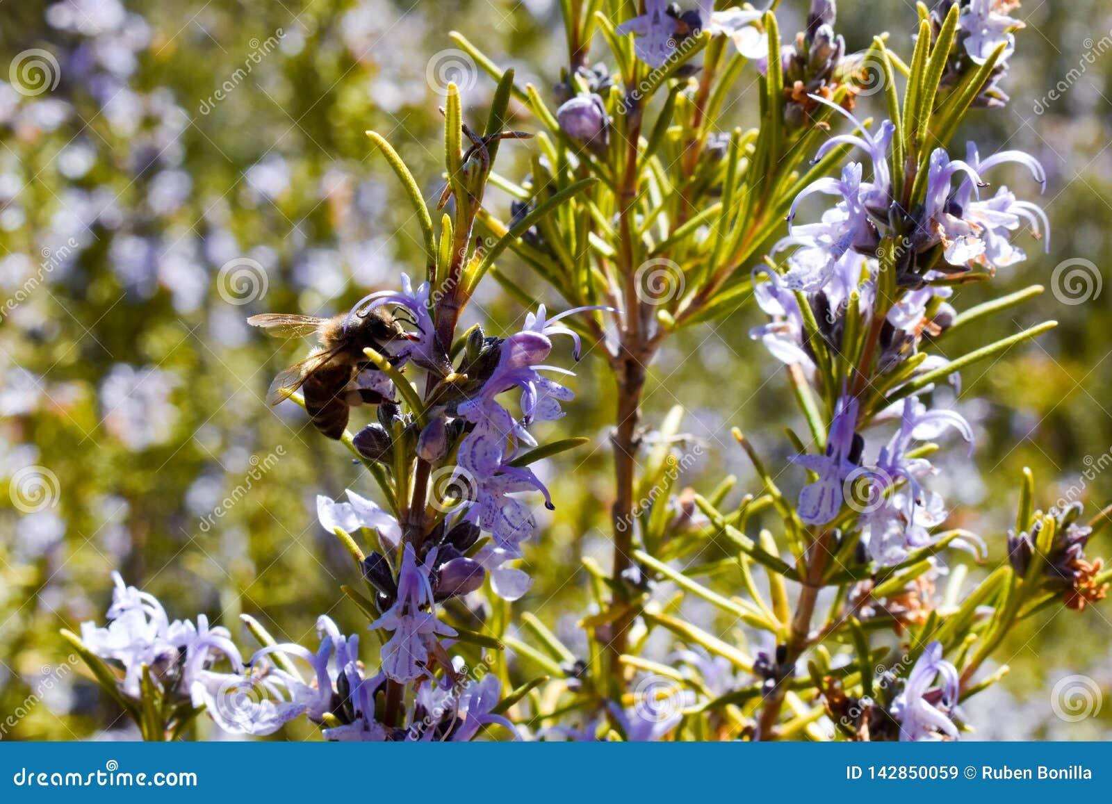 Cercano para arriba de una abeja en una flor púrpura de la rama verde del romero que poliniza la planta y que toma el polen en un