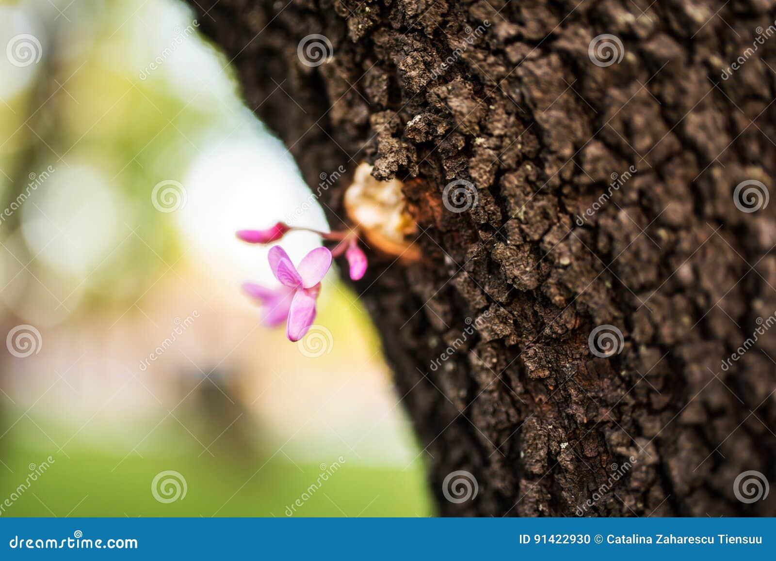 Cercisbloem op boomstam