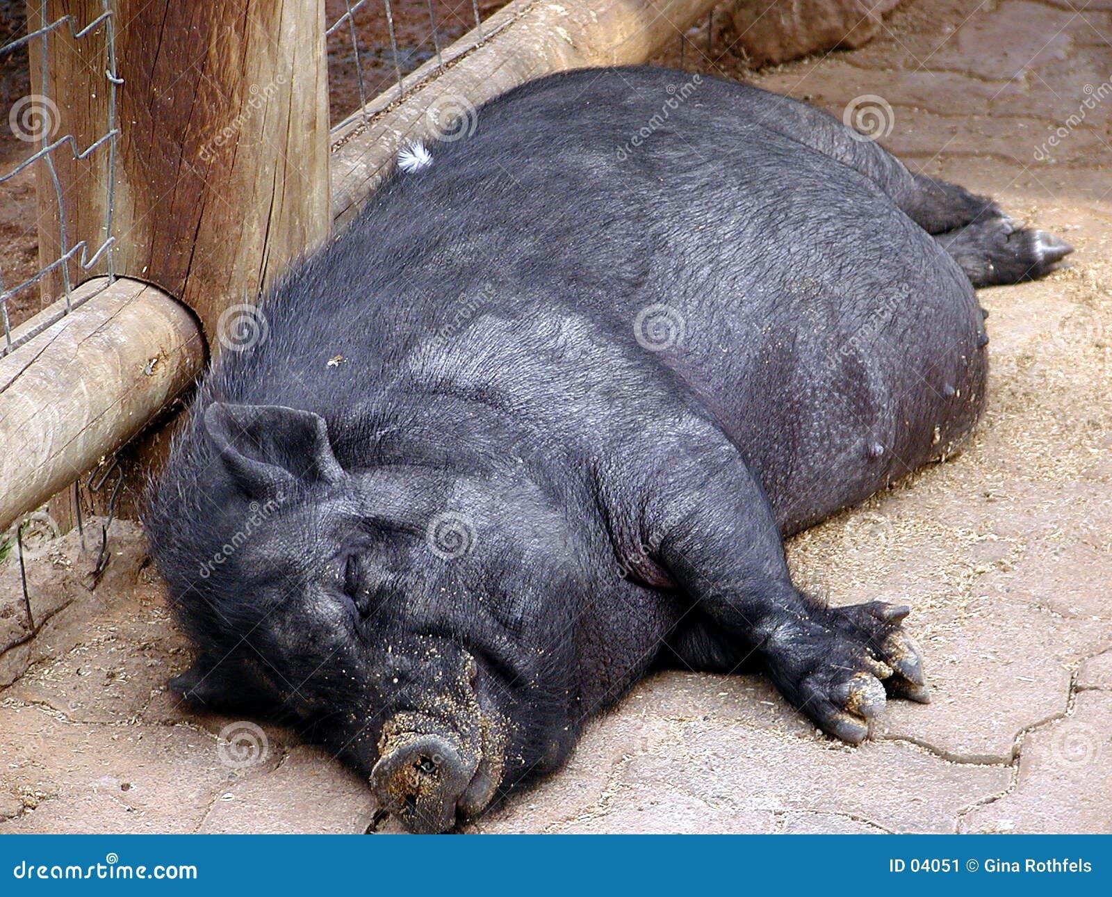Cerdo 1 el dormir