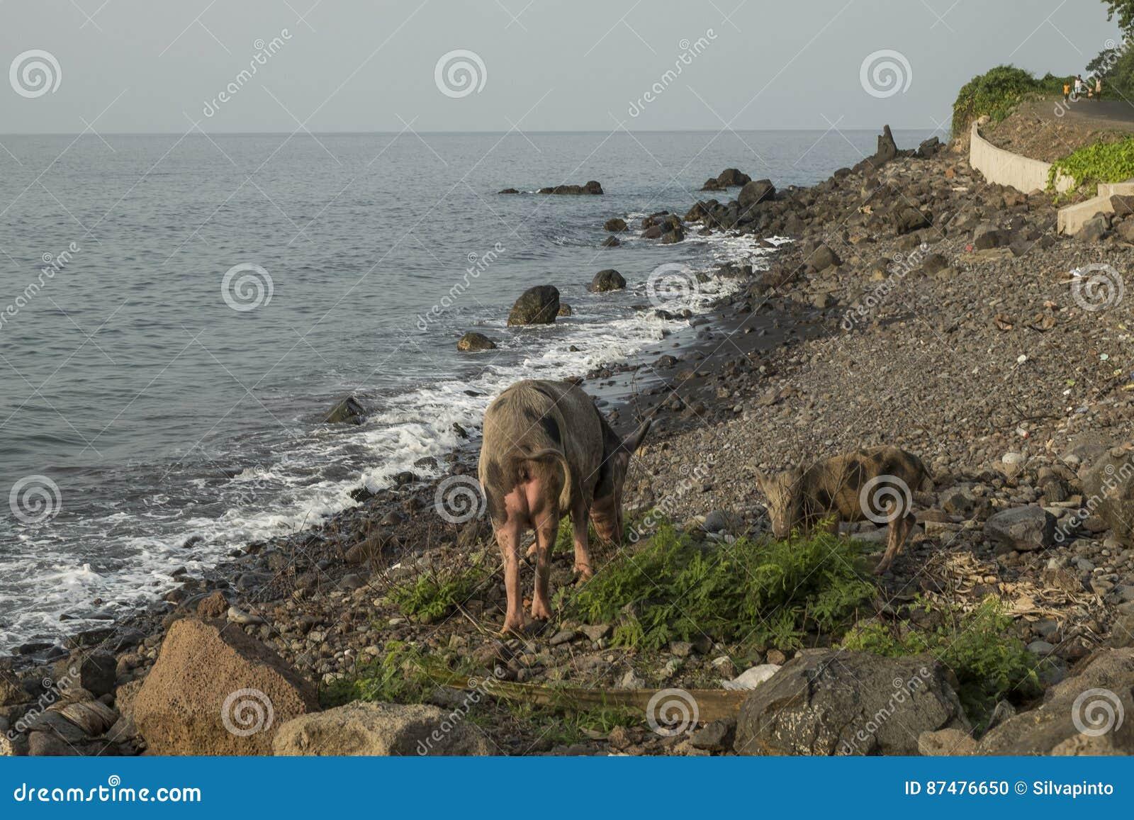 Cerdo a caminar por el mar