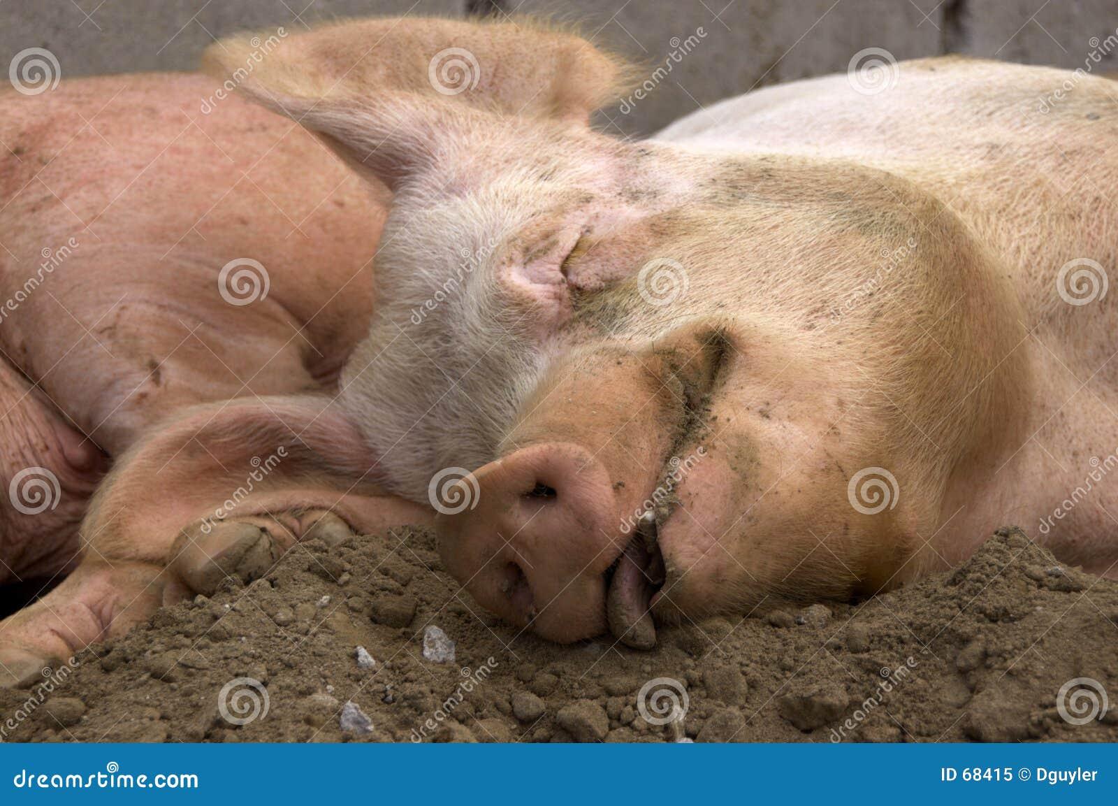 Cerdo contento