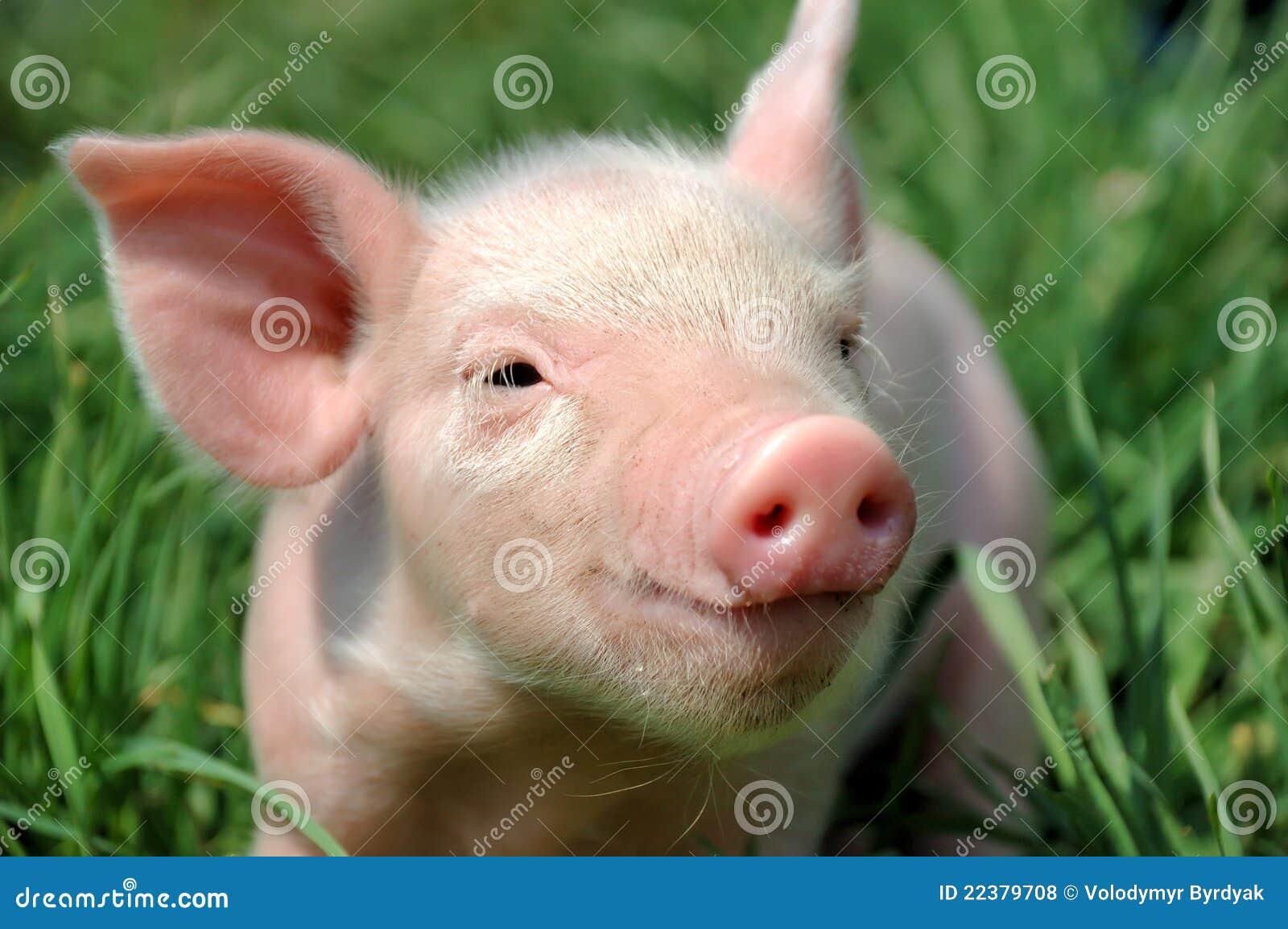 Cerdo joven