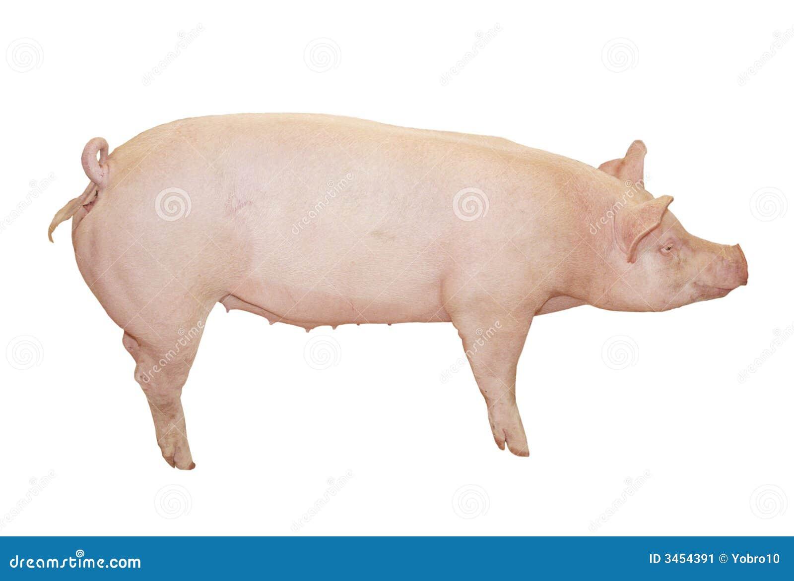 Un cerdo rosado grande que está limpio y listo para ser cortado de un