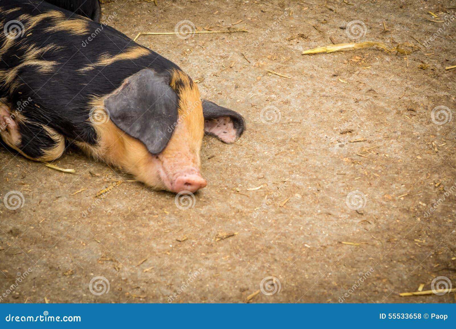 Cerdo soñoliento