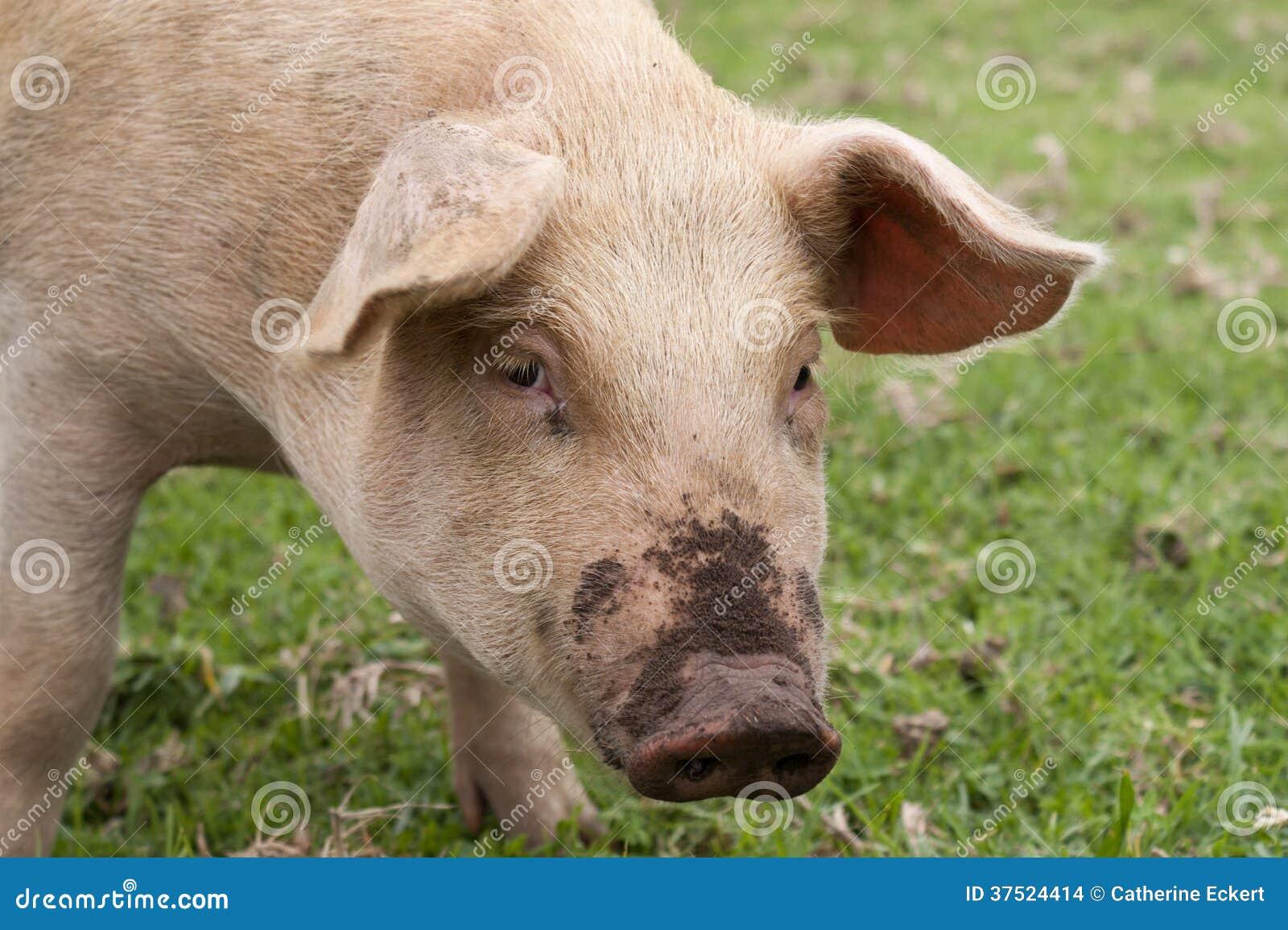 Cerdo sucio