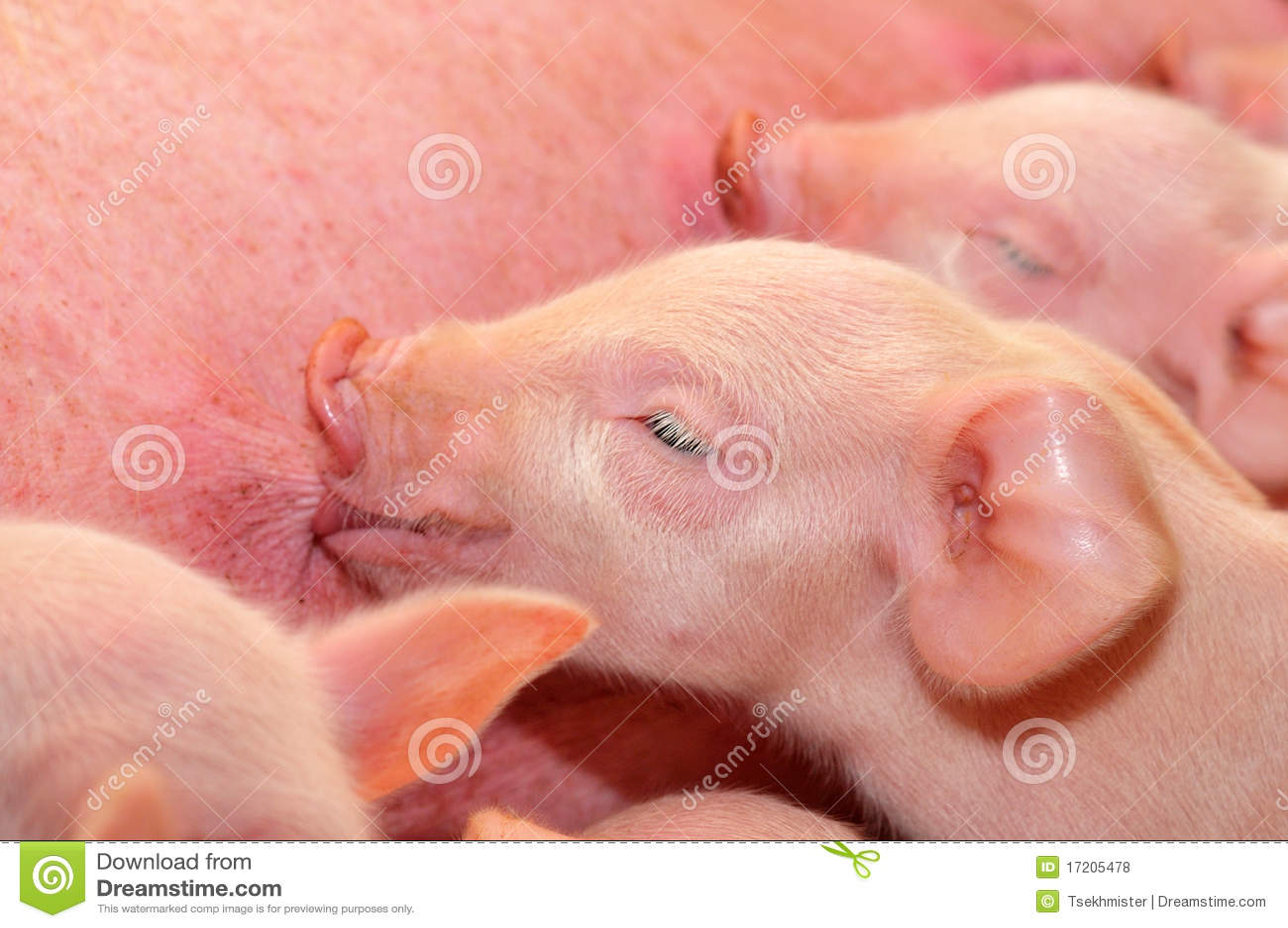 Cerdos del bebé que introducen con la madre