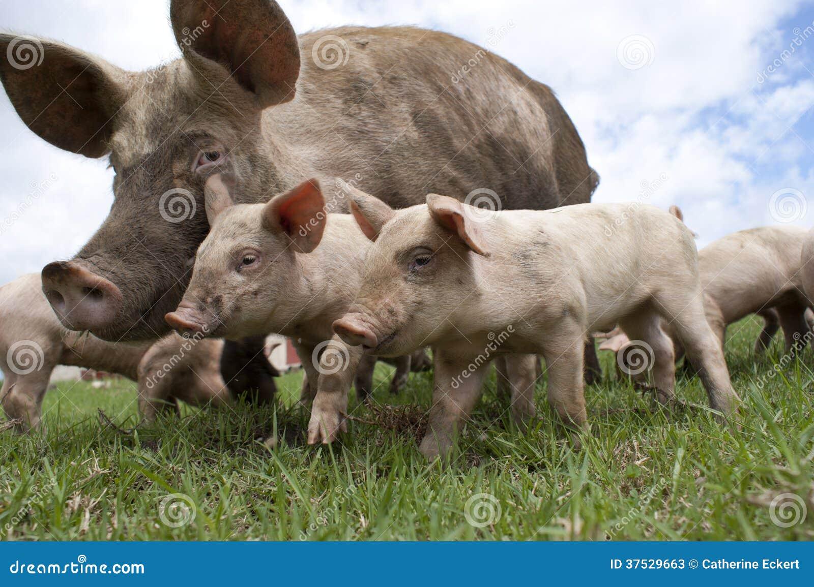 Cerdos libres de la gama