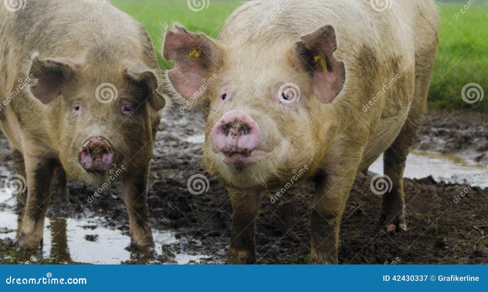 Cerdos orgánicos