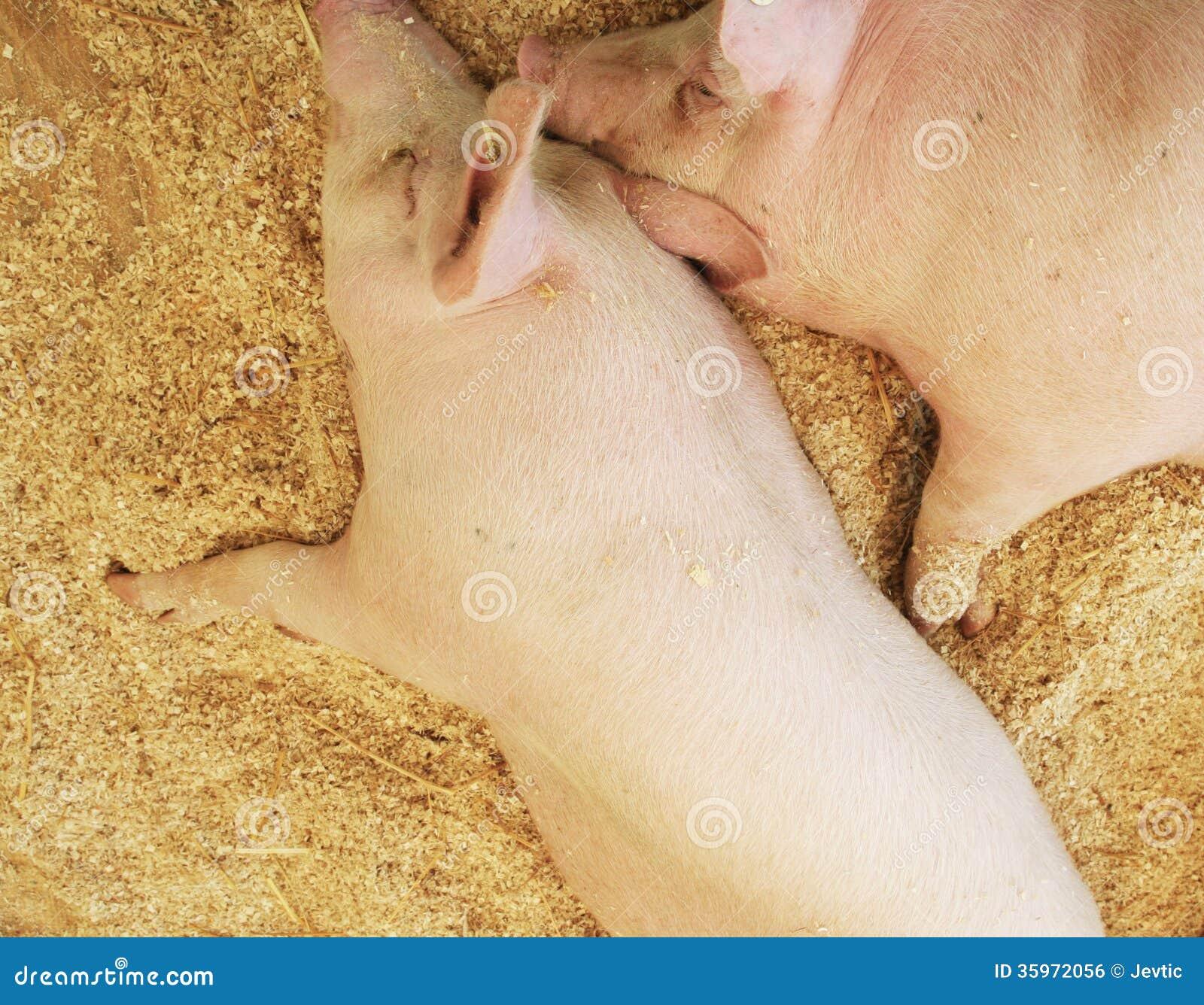 Cerdos que descansan sobre las virutas de madera
