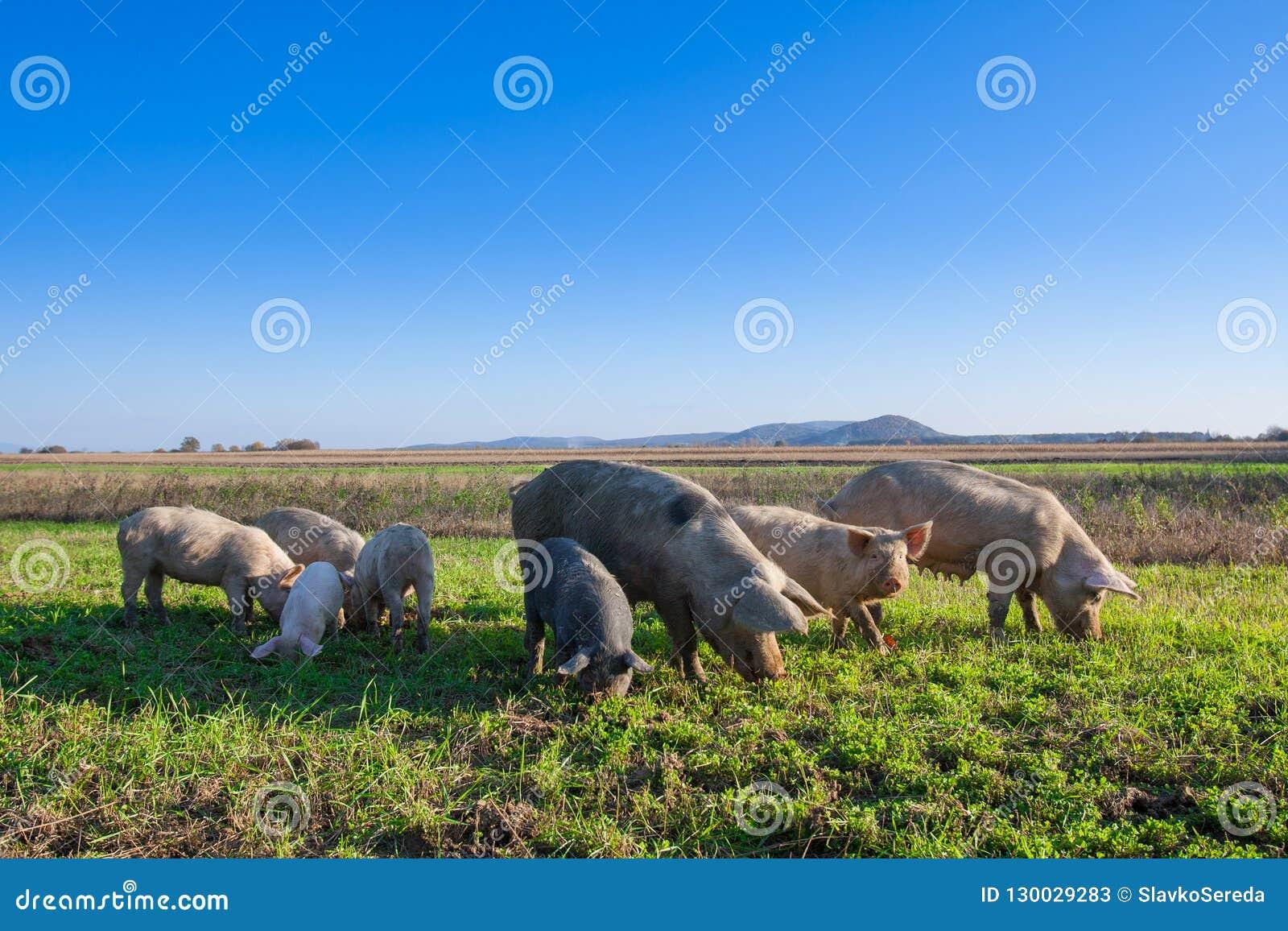 Cerdos y cochinillos que pastan