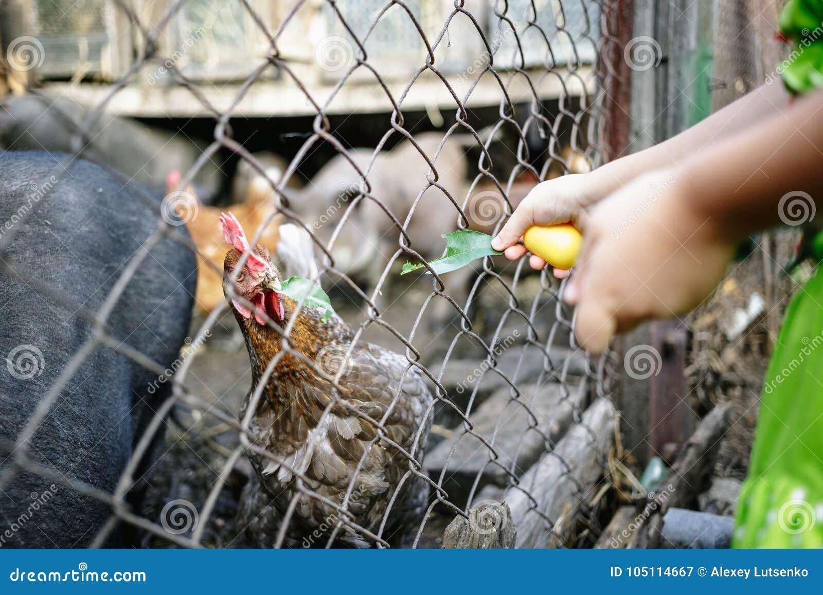 Cerdos y pollos vietnamitas de alimentación en la granja