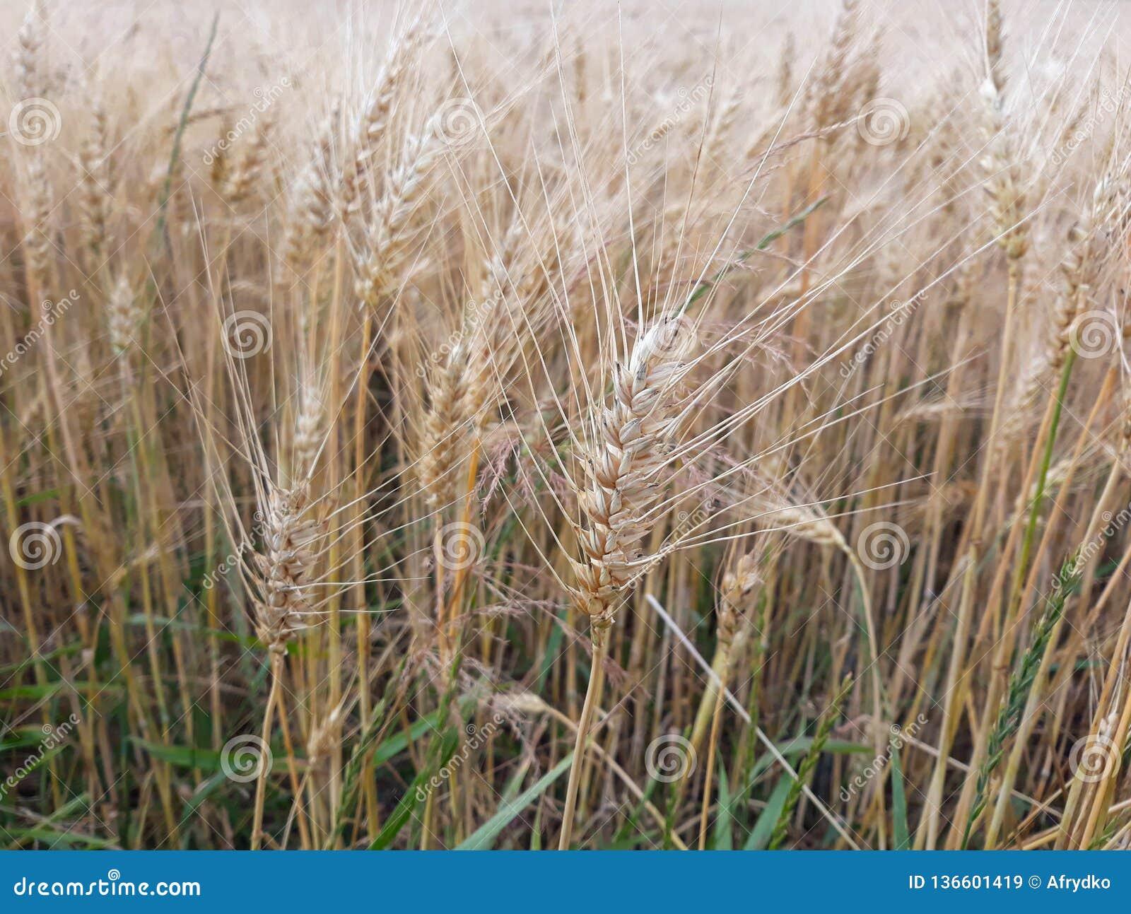 Cereal maduro en el campo