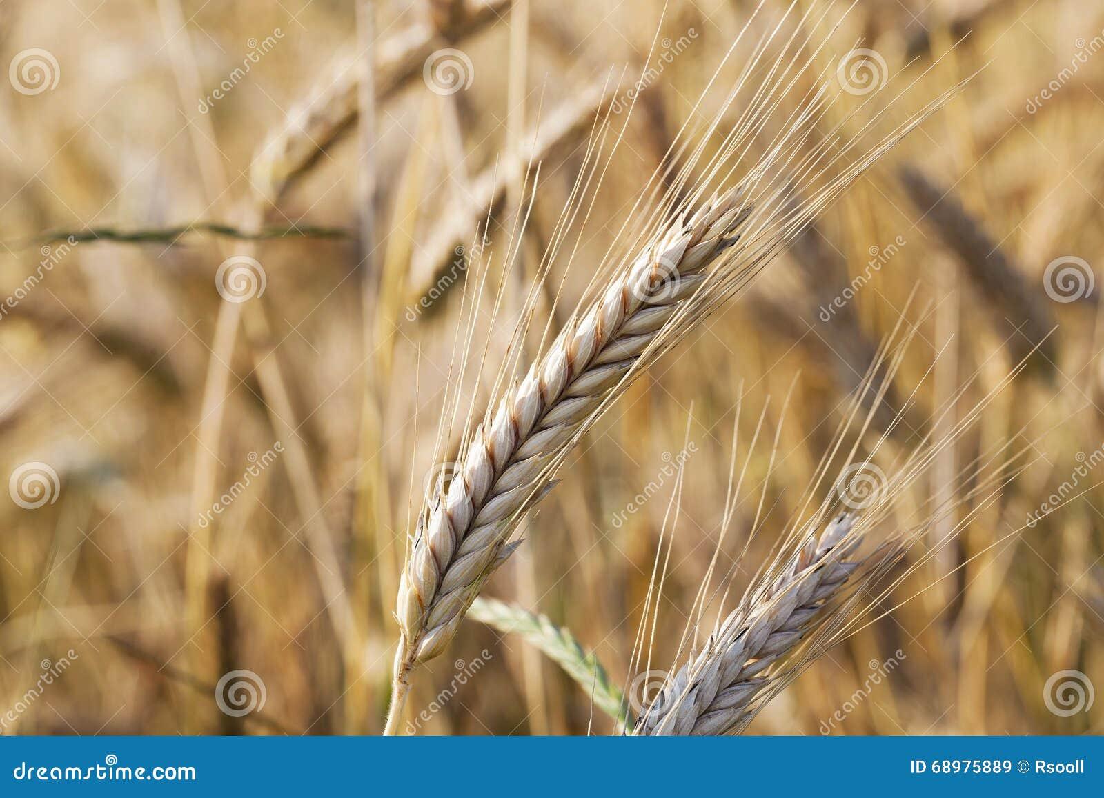 Cereal maduro, primer