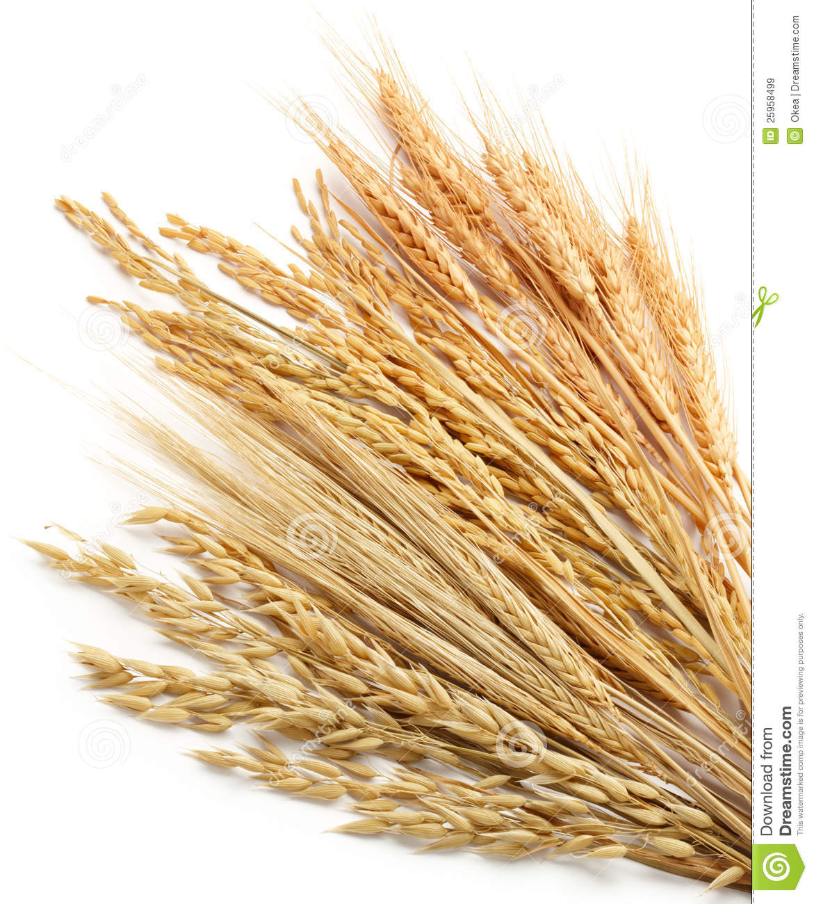Viewing Gallery For - Barley Plant