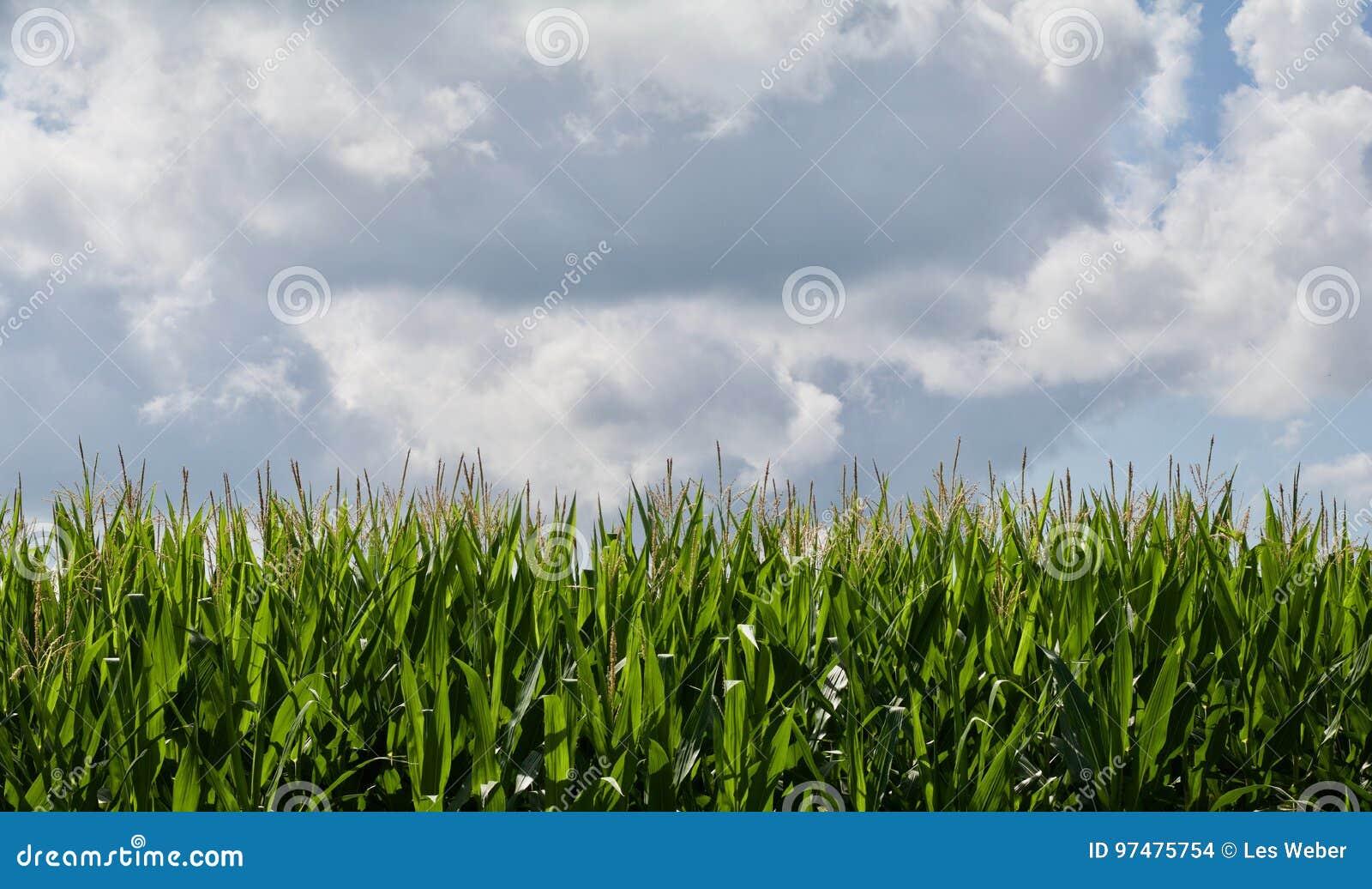 Cereale crescente