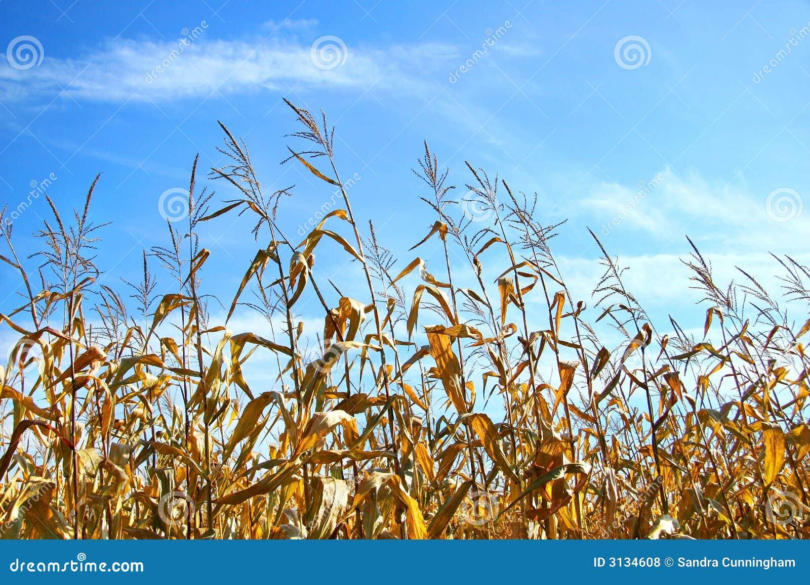 Cereale di autunno