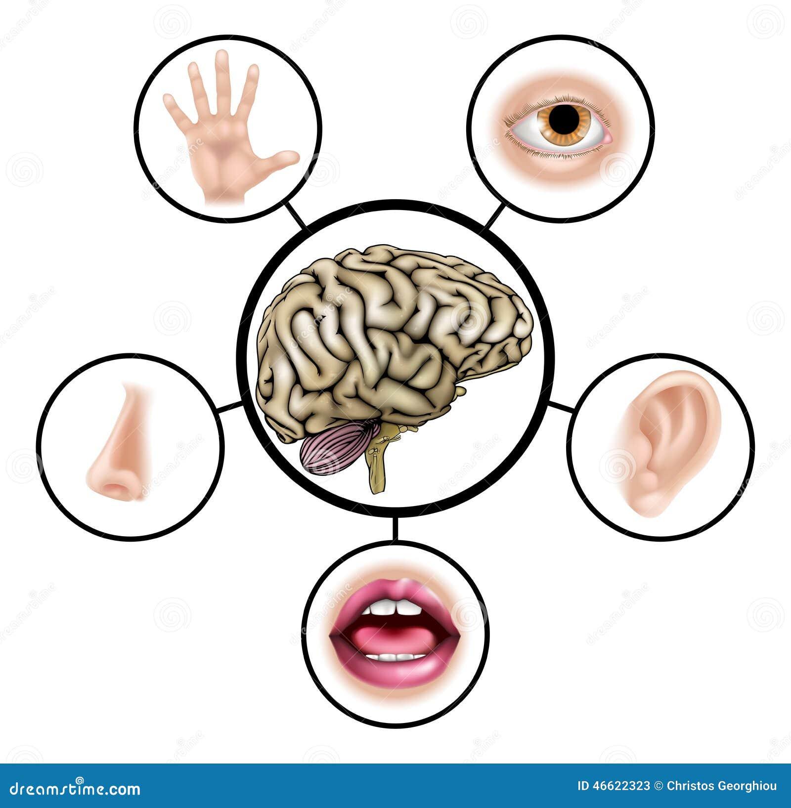 Cerebro de cinco sentidos ilustraci n del vector imagen for El divan de los sentidos