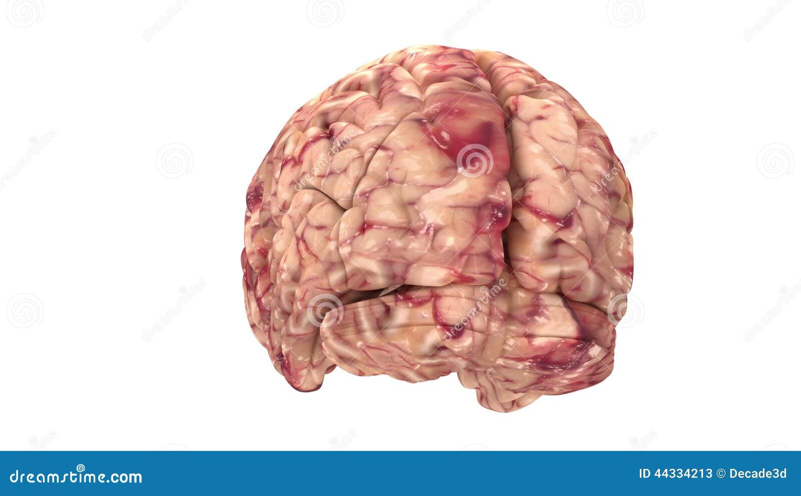 Cerebro De La Anatomía - Aislado En Blanco - Resolución 4K Almacen ...