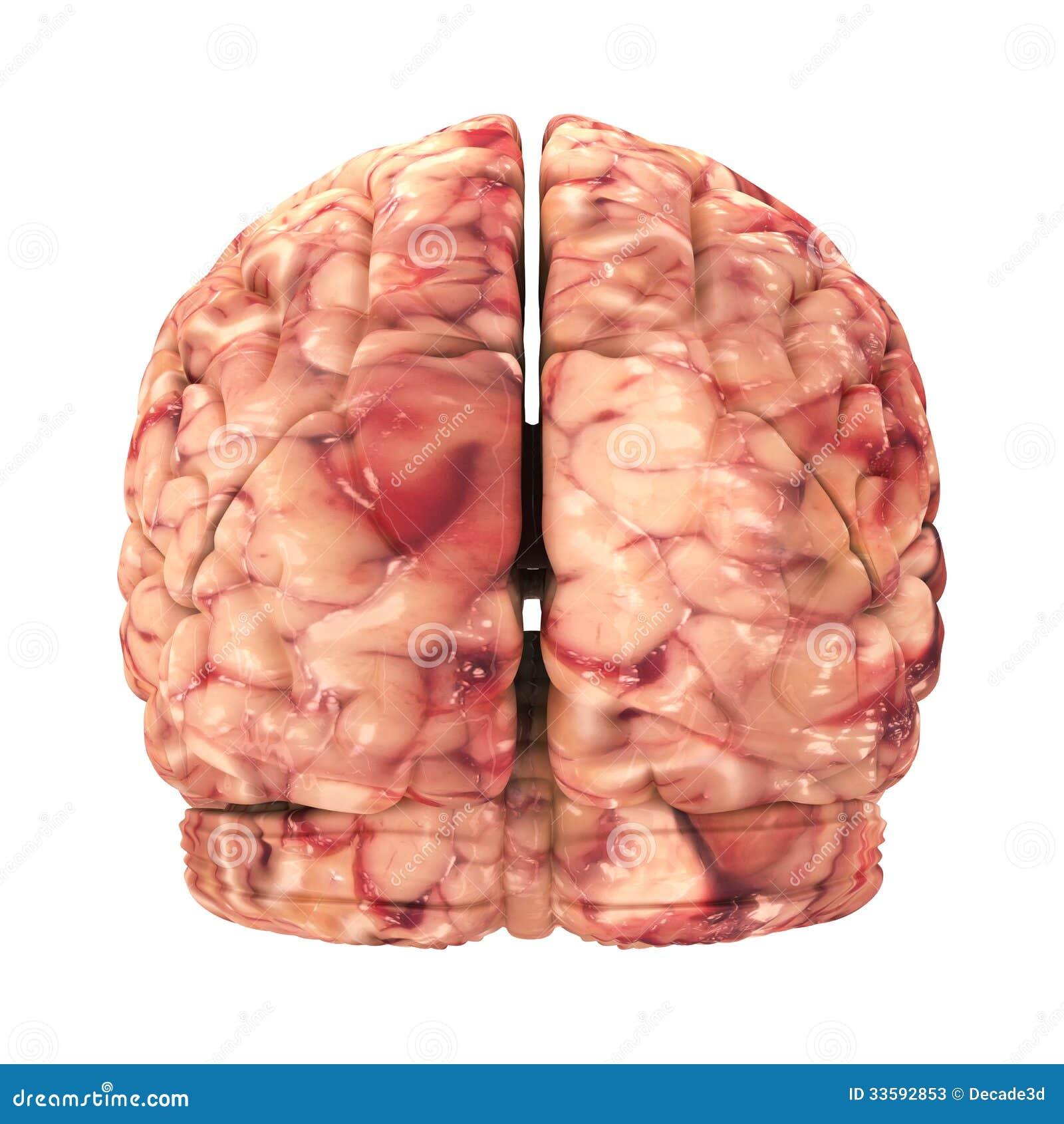 Cerebro De La Anatomía - Visión Trasera Aislada Stock de ilustración ...