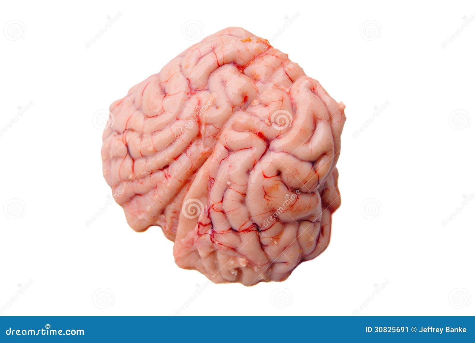 Cerebro De Un Ciervo De Cola Negra Imagen de archivo - Imagen de ...