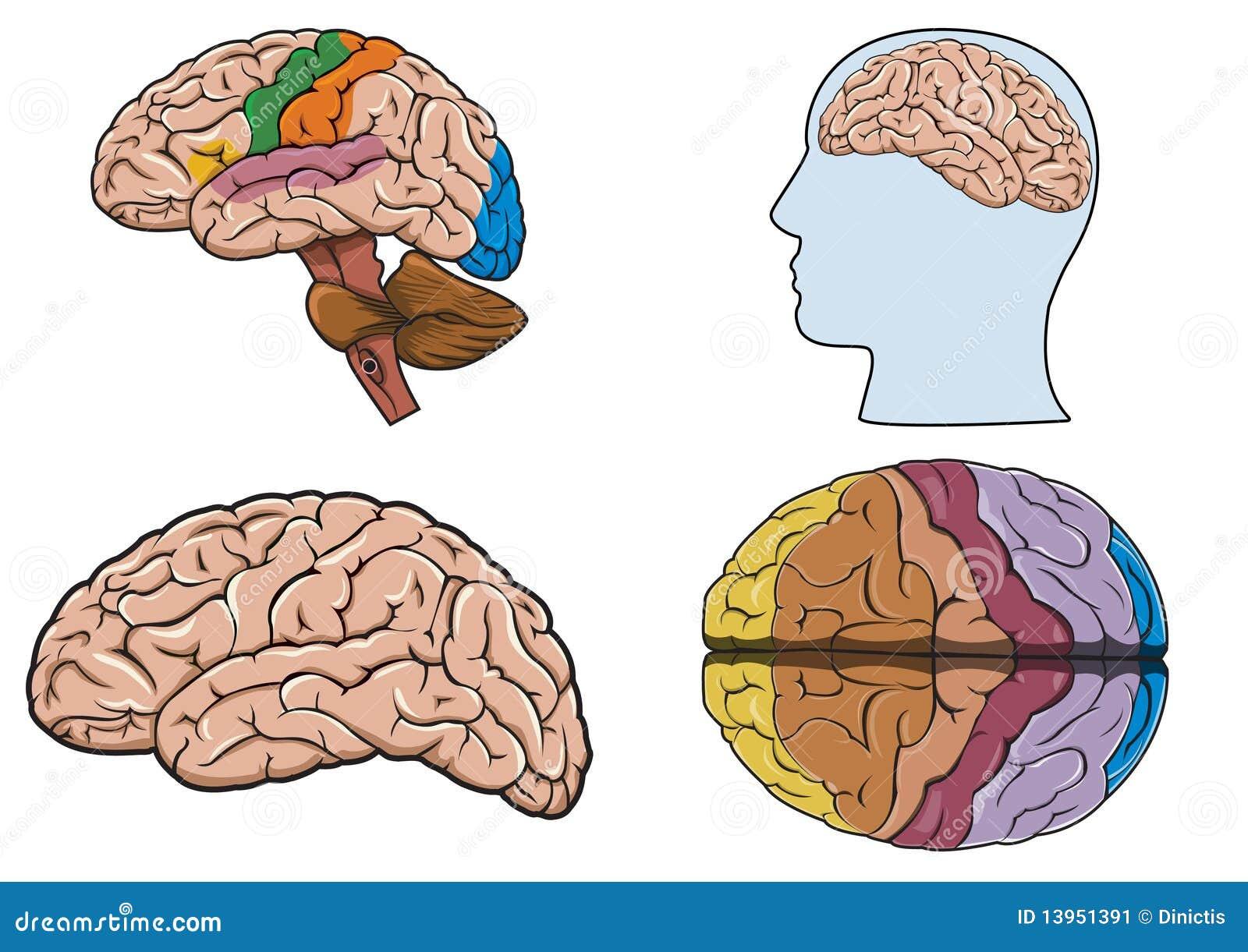 Fantástico Dentro Diagrama Cerebro Viñeta - Anatomía de Las ...