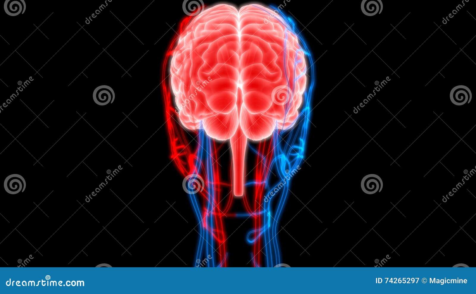 Cerebro Humano Con Los Nervios, Las Venas Y La Anatomía De Las ...