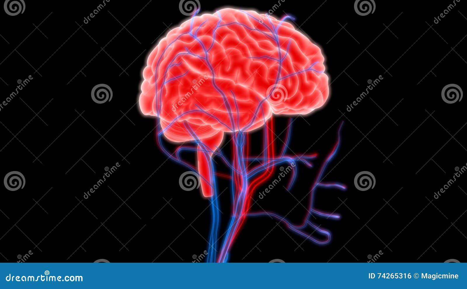 Dorable Anatomía Bruto De Cerebro Adorno - Anatomía de Las ...