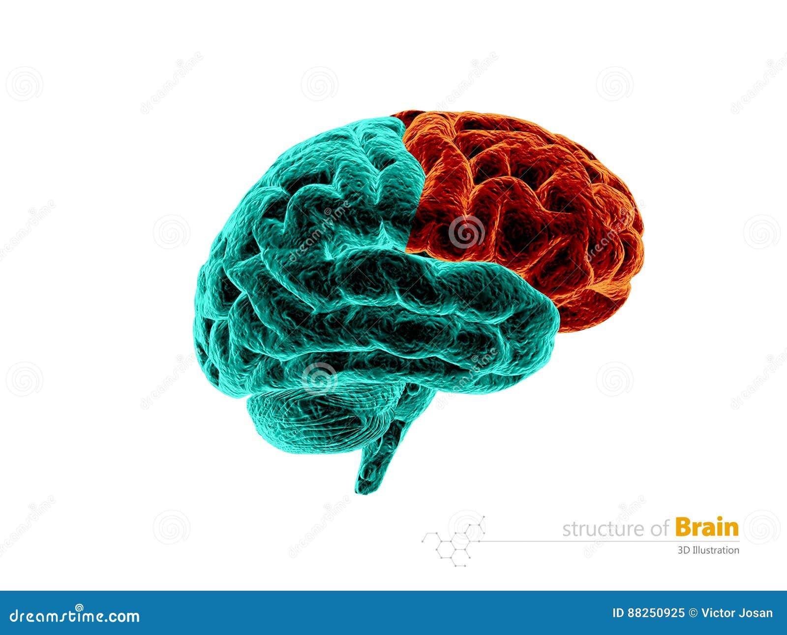 Cerebro Humano, Estructura De La Anatomía Del Lóbulo Frontal Ejemplo ...