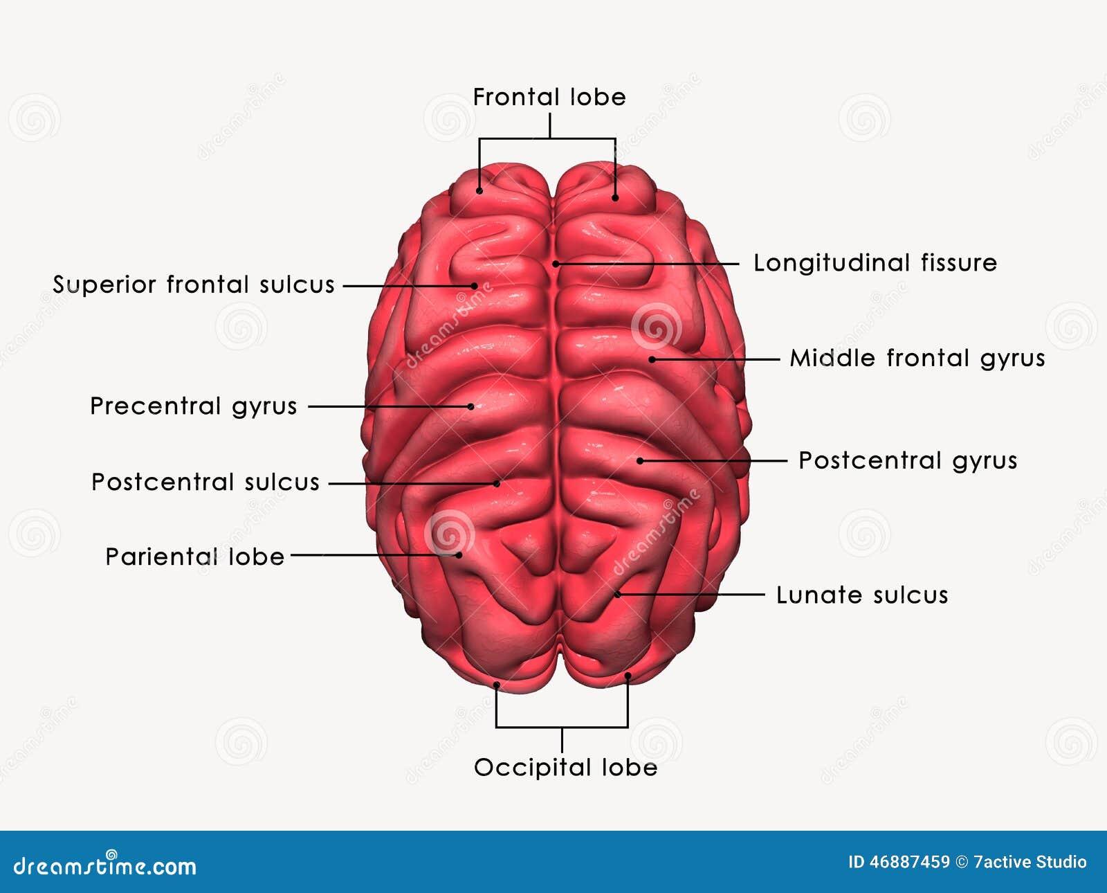 Cerebro humano etiquetado stock de ilustración. Ilustración de ...