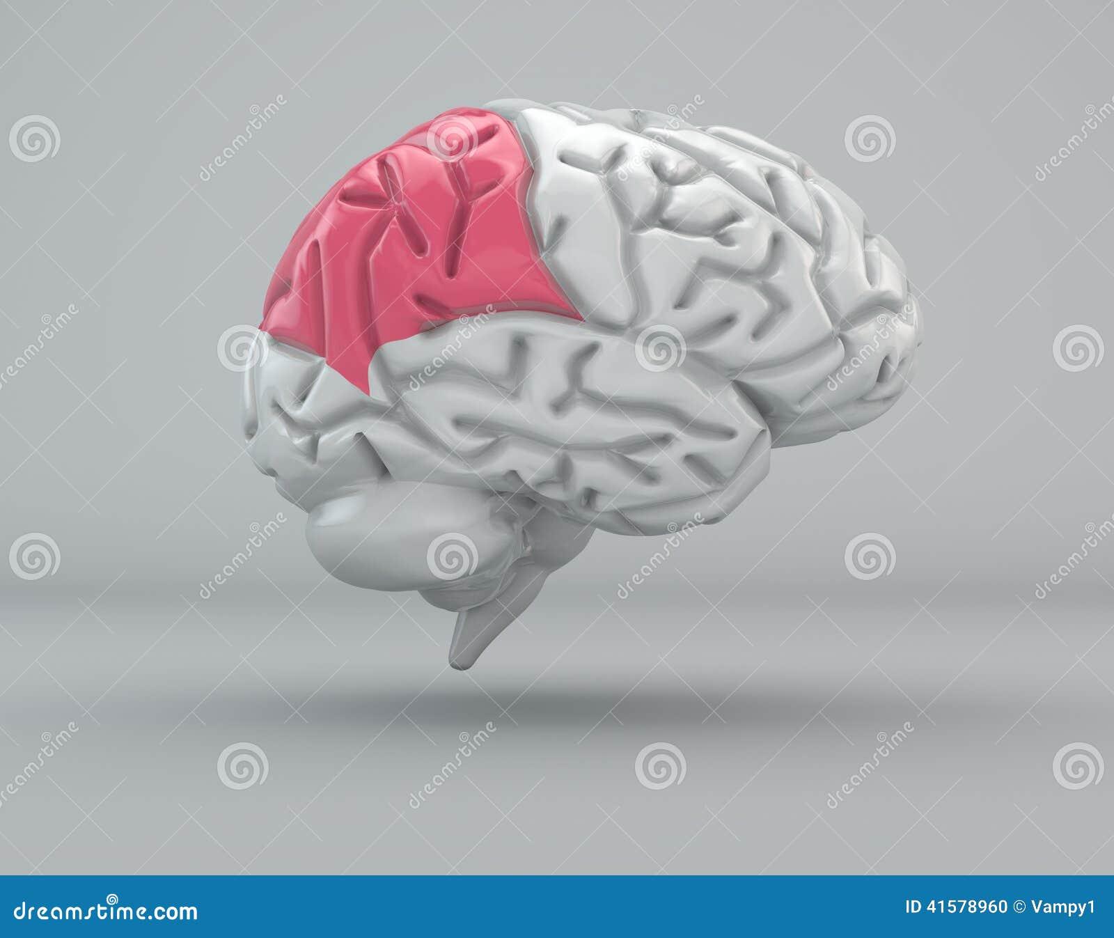 Cerebro, Lóbulo Parietal, División Stock de ilustración ...