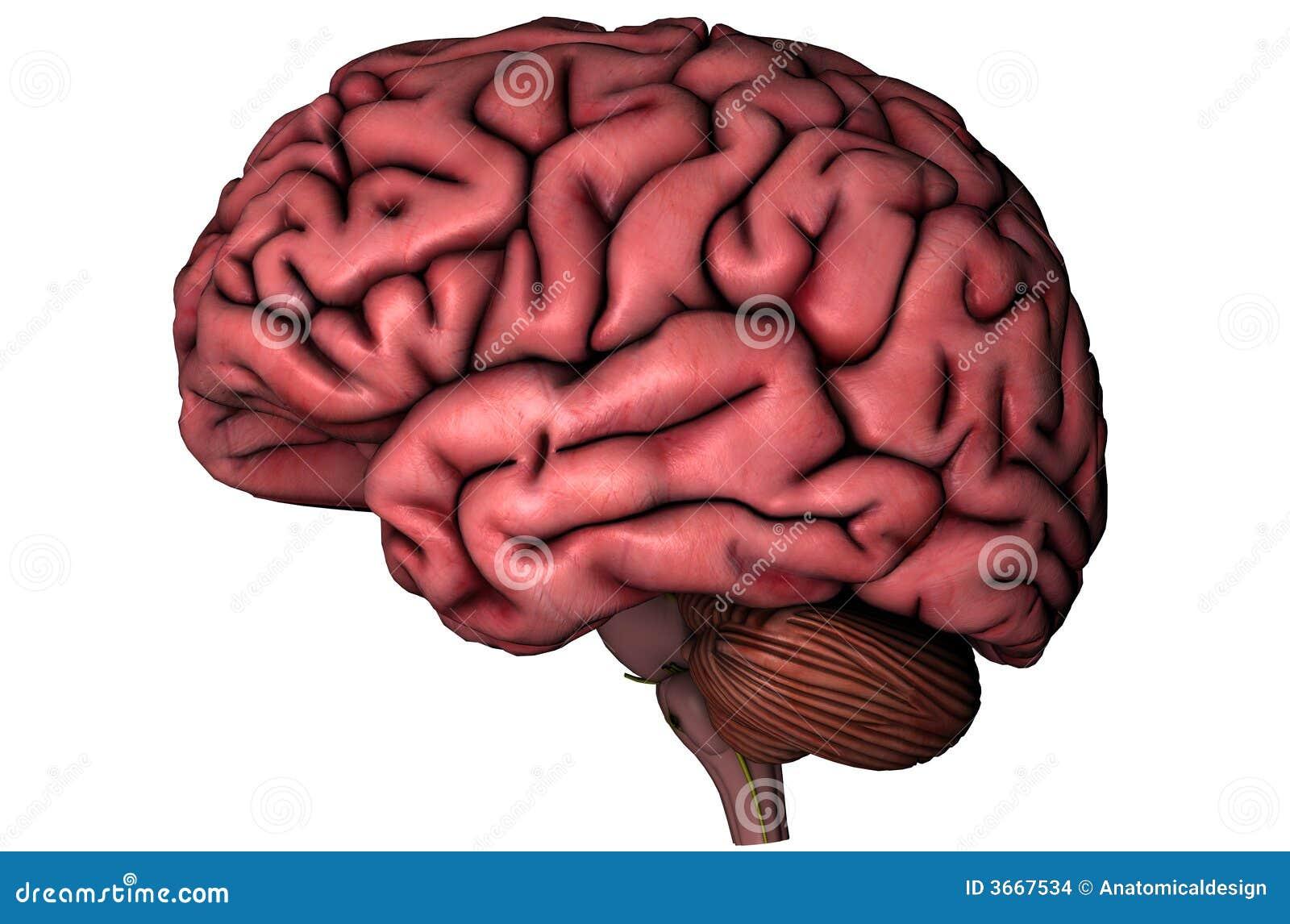 Cerebro lateral humano