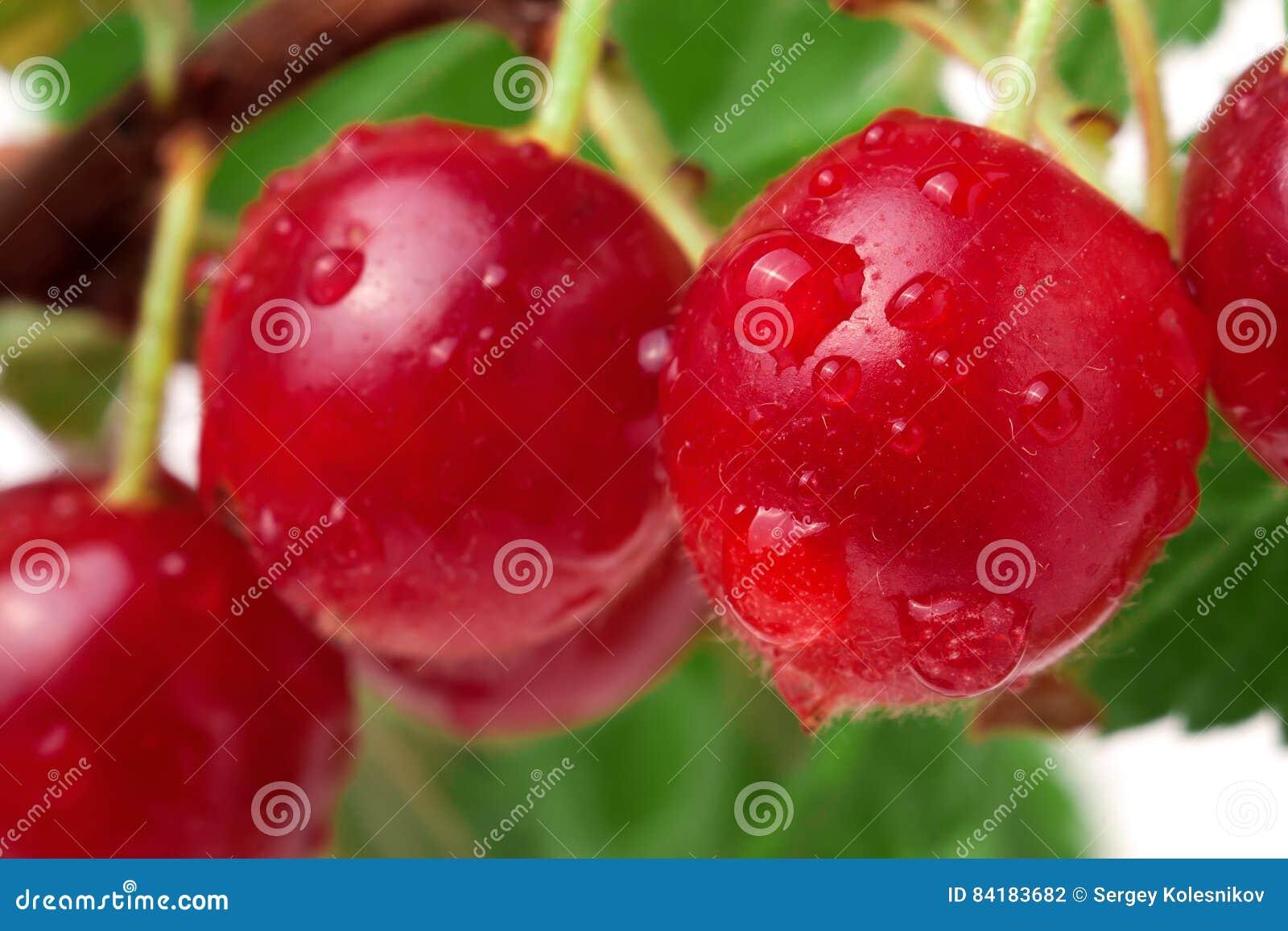 A cereja de Felted no ramo isolou o fundo branco