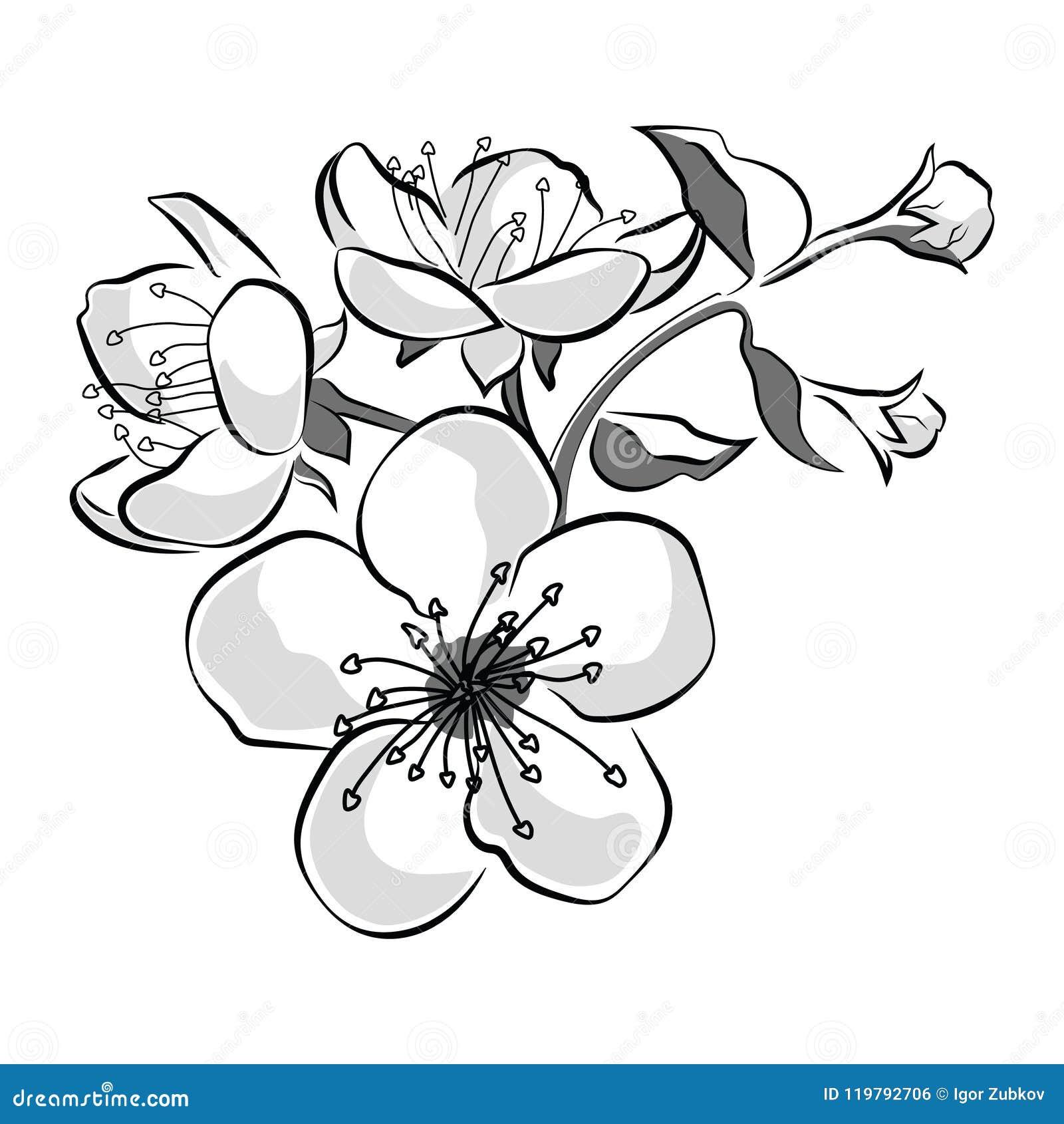 Cereja De Florescência Ramo De Sakura Com Flores Em Botão