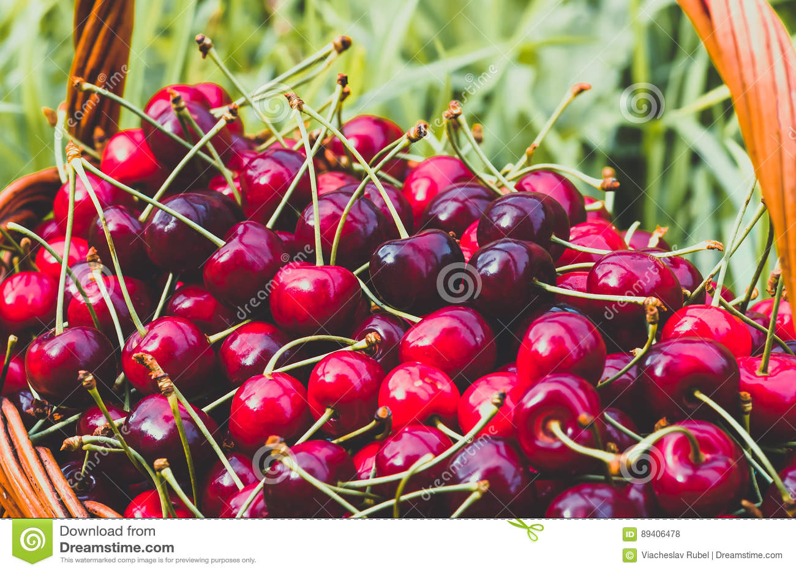 Cereja doce orgânica vermelha madura no jardim