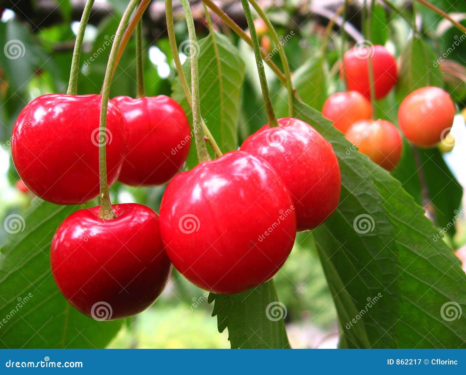 Cerejas na árvore