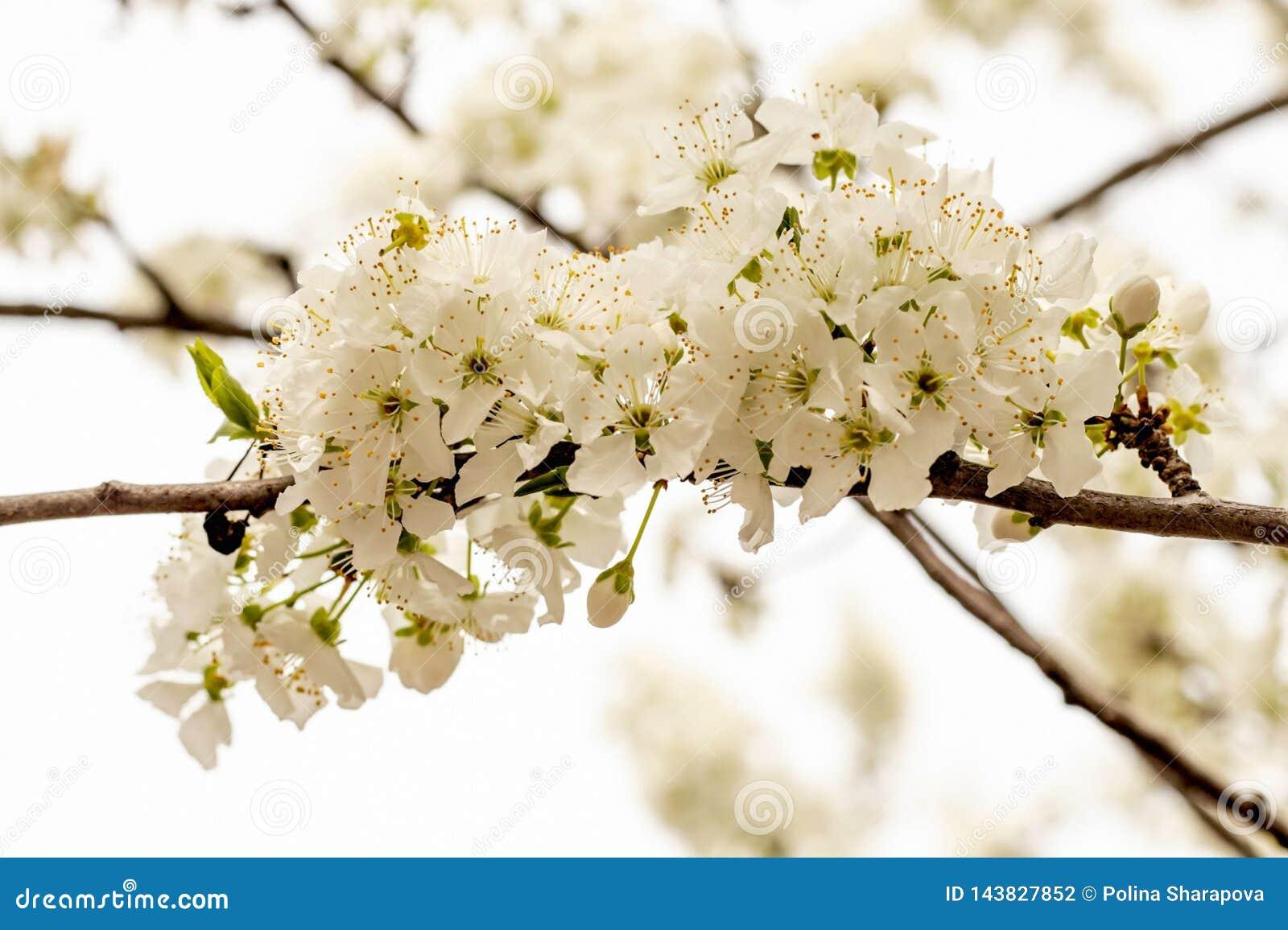 Cereza blanca floreciente en jard?n de la primavera