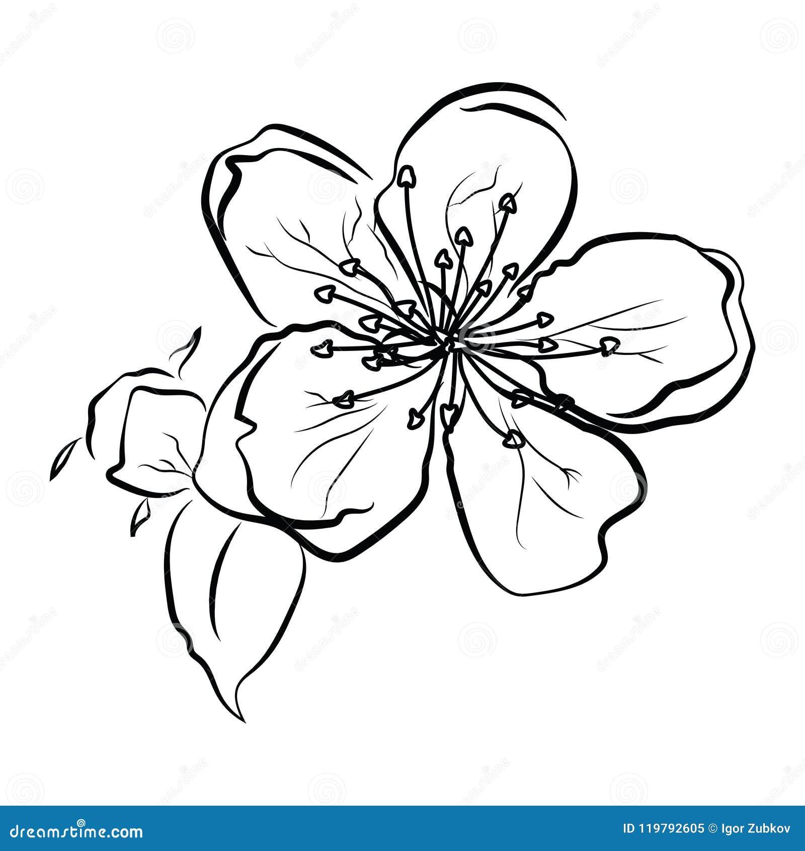 Cereza Floreciente Rama De Sakura Con Los Brotes De Flor Dibujo