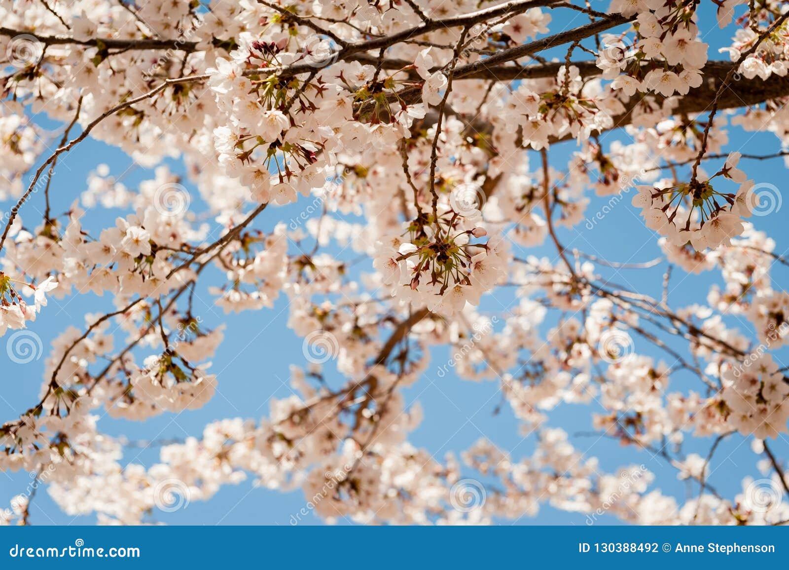 Cerezo floreciente de la primavera en Salt Lake City con el fondo del cielo azul