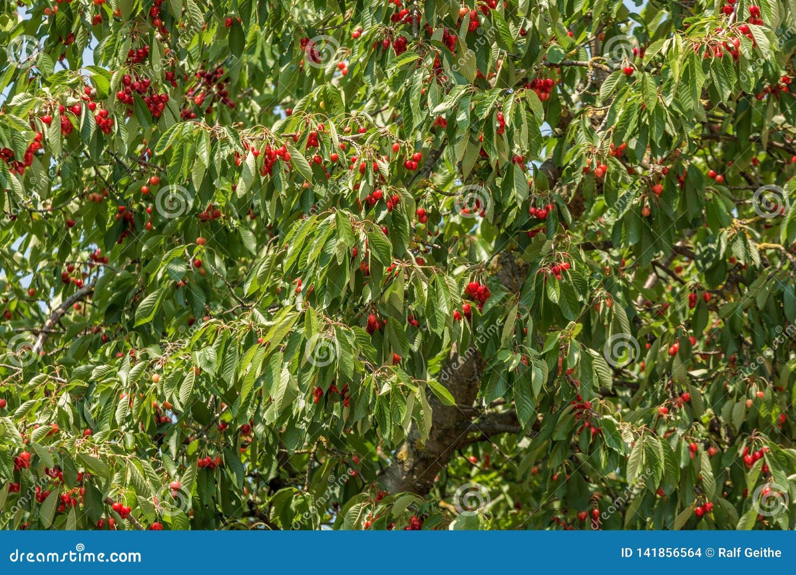 Cerezo por completo de cerezas maduras rojas