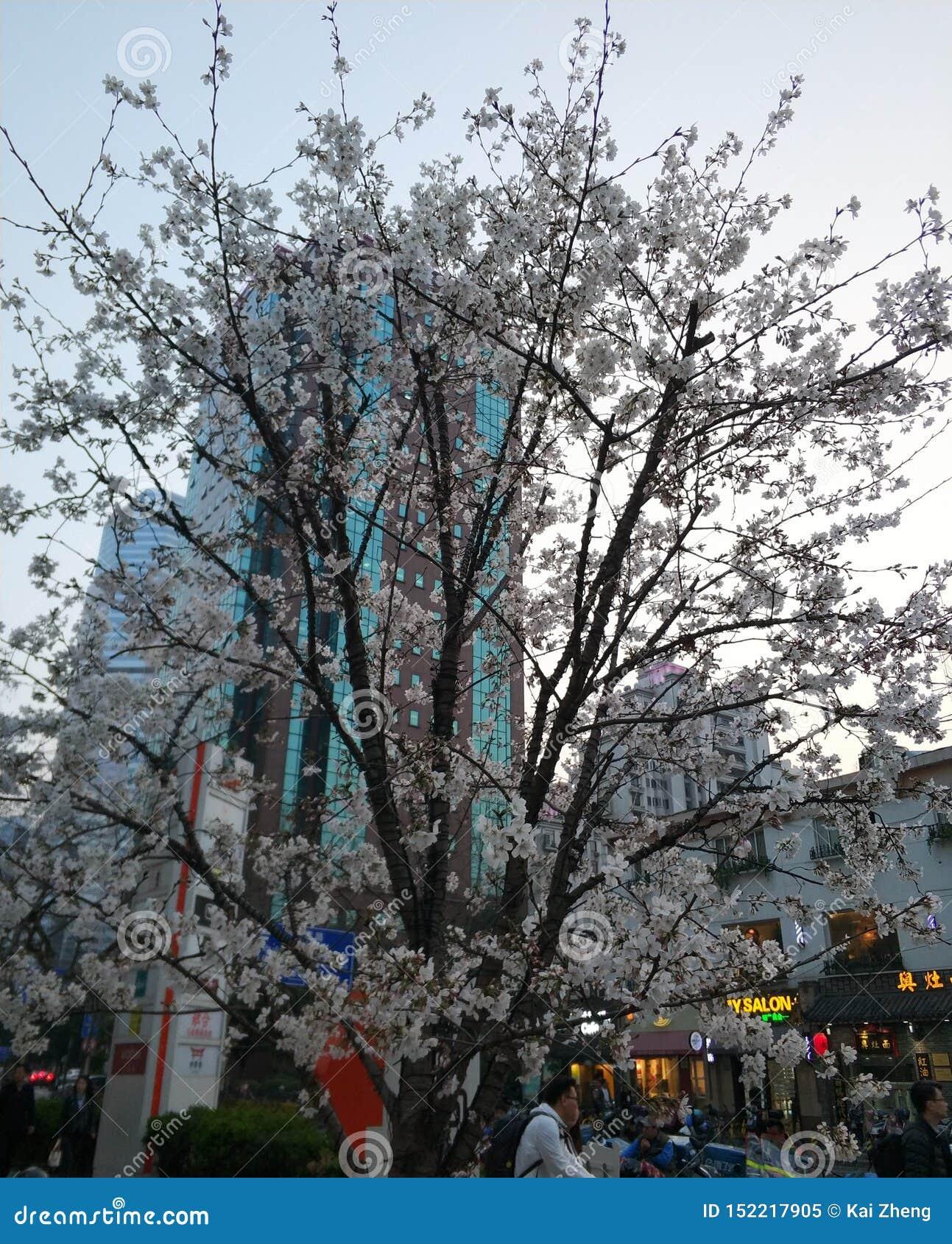Cerezos magníficos que florecen en el streett