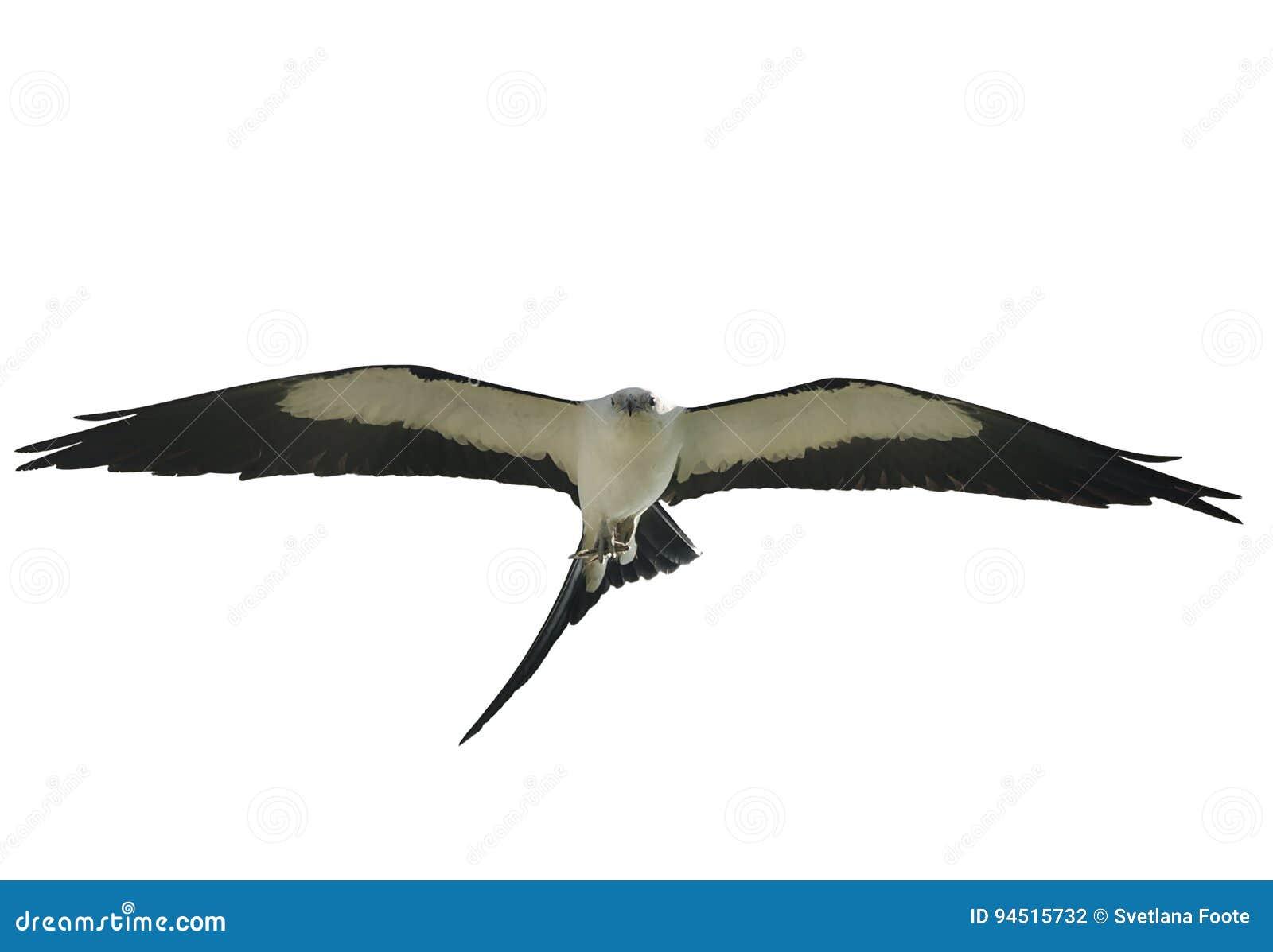 Cerf-volant Hirondelle-coupé la queue en vol