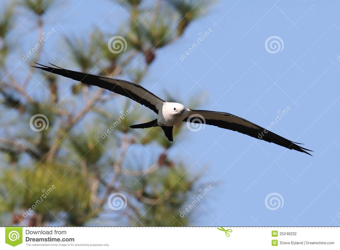 Cerf-volant Swallow-tailed