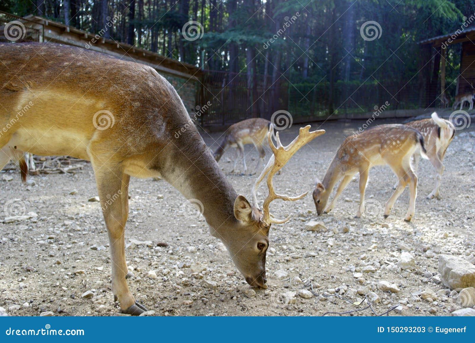 Cerfs communs à l alimentation
