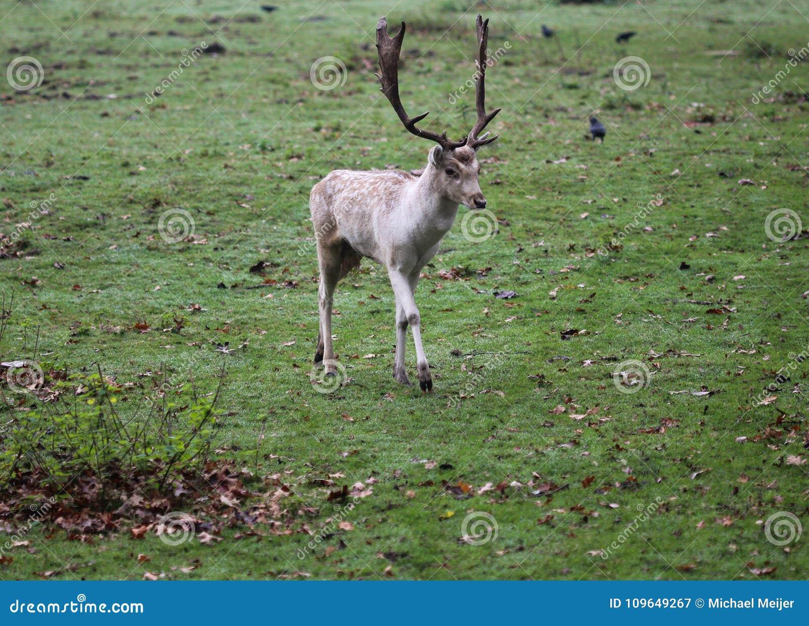 Cerfs communs affrichés, dama de Dama, hurlant dans la forêt