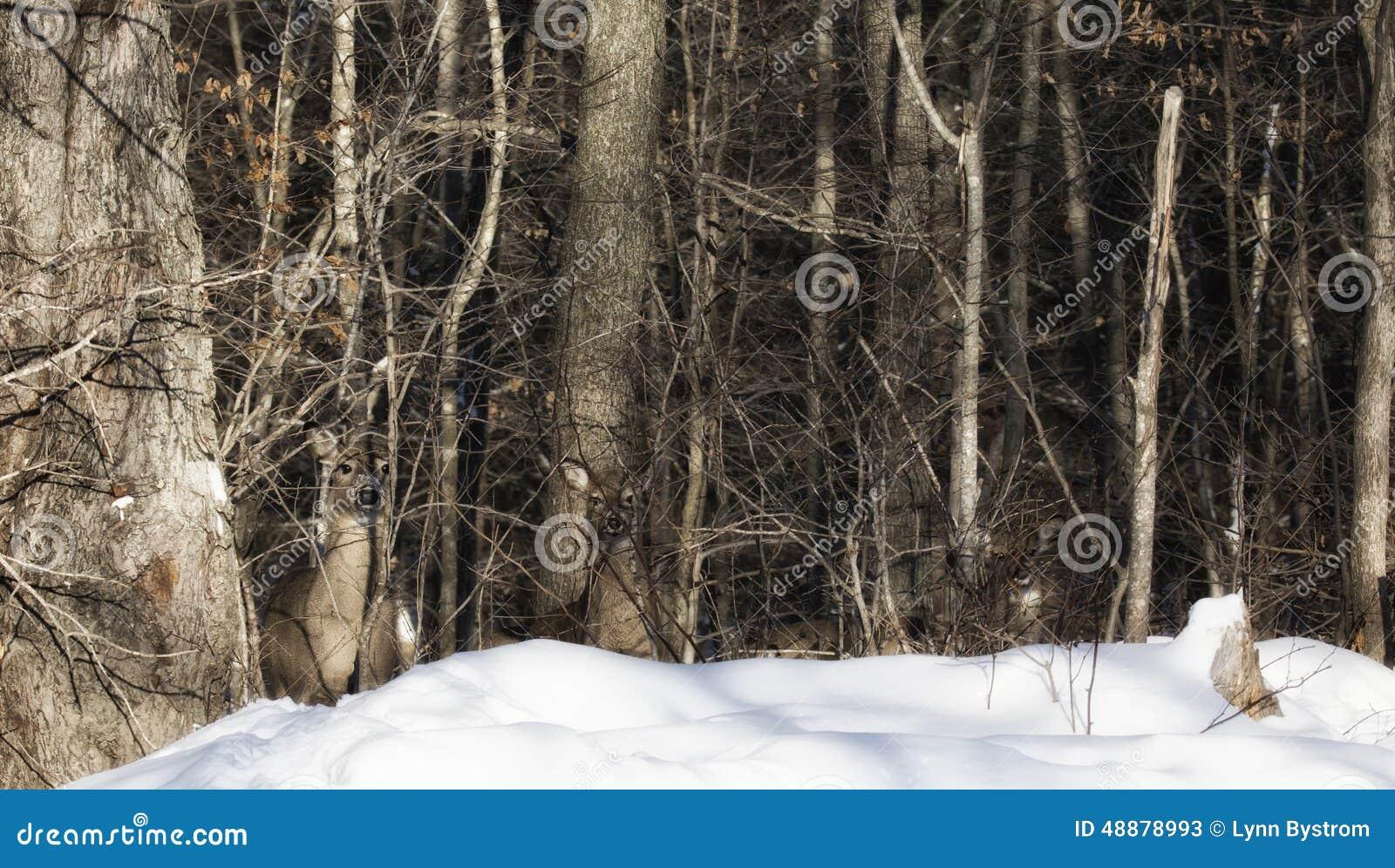 Cerfs communs dans le camouflage