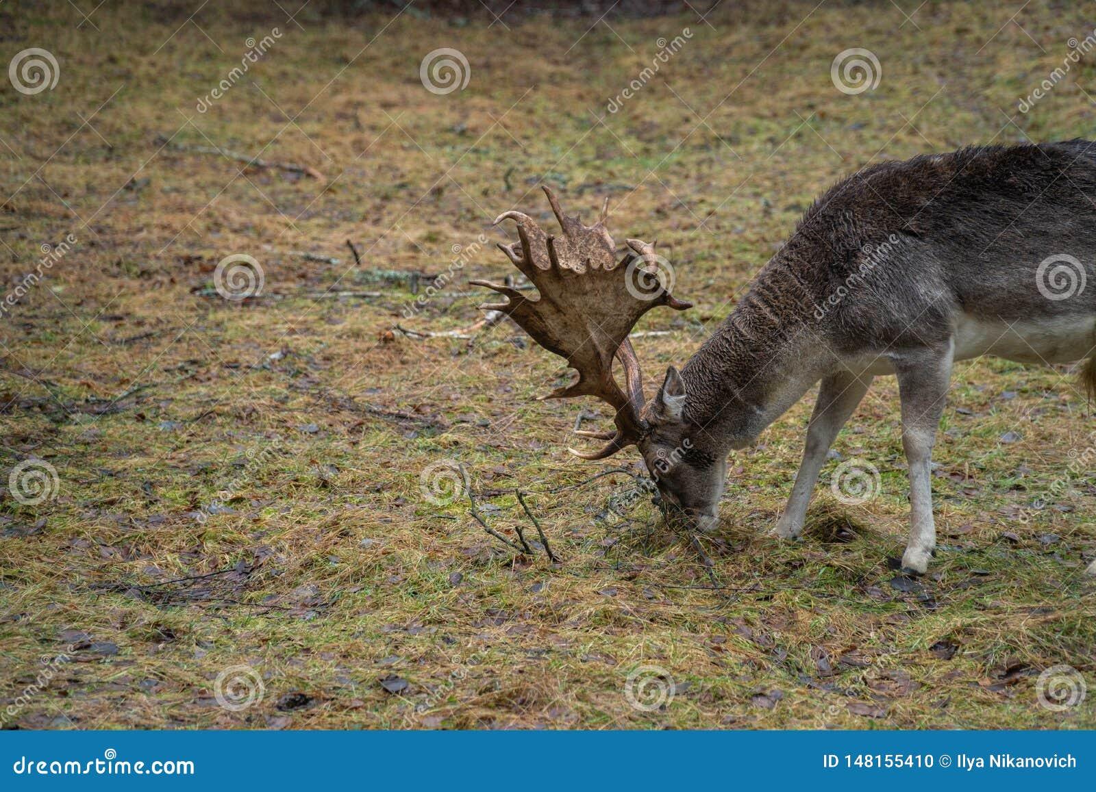 Cerfs communs dans le sauvage dans la forêt