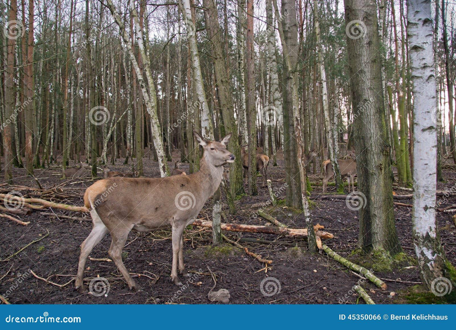 Cerfs communs dans les bois