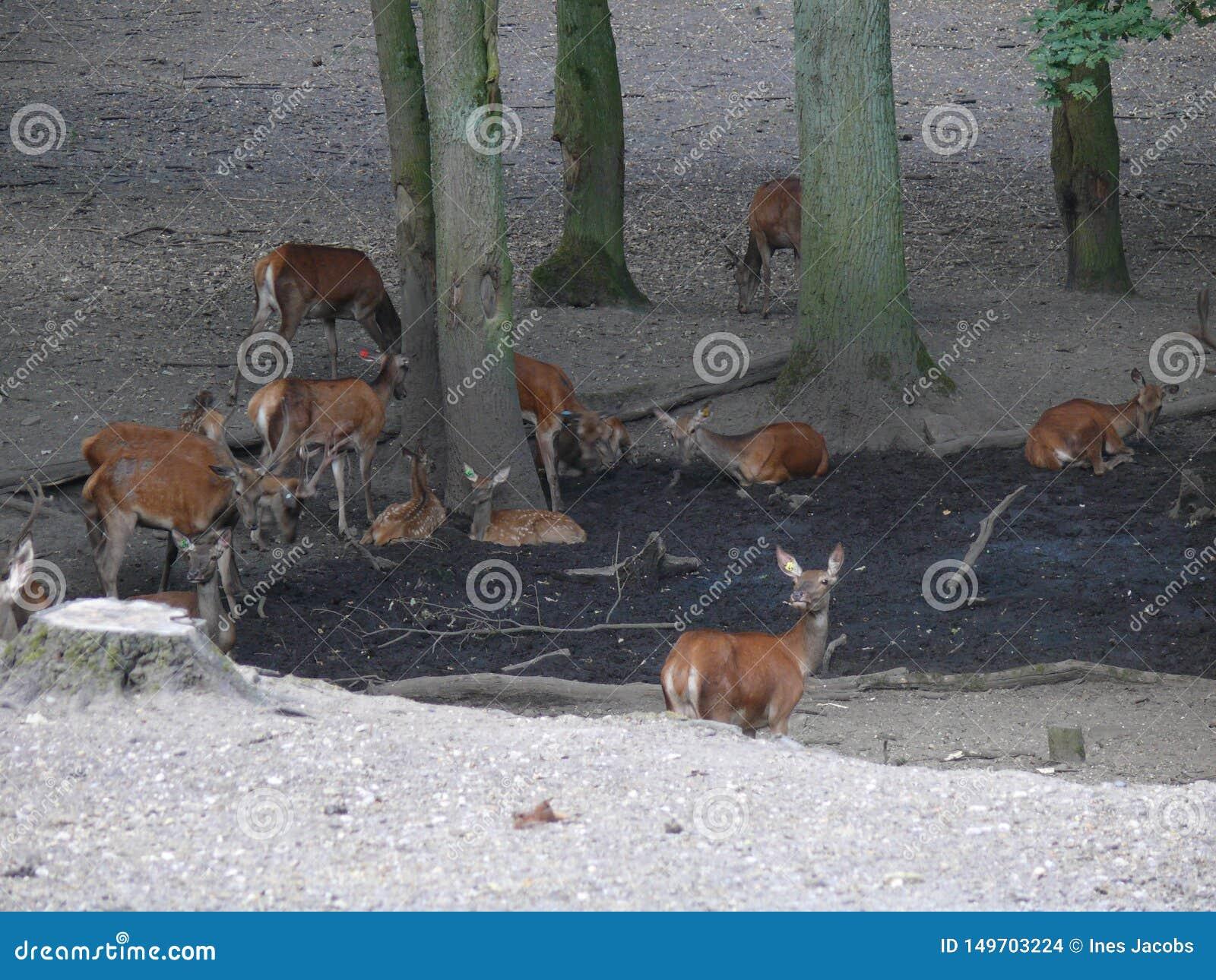 Cerfs communs dans une for?t